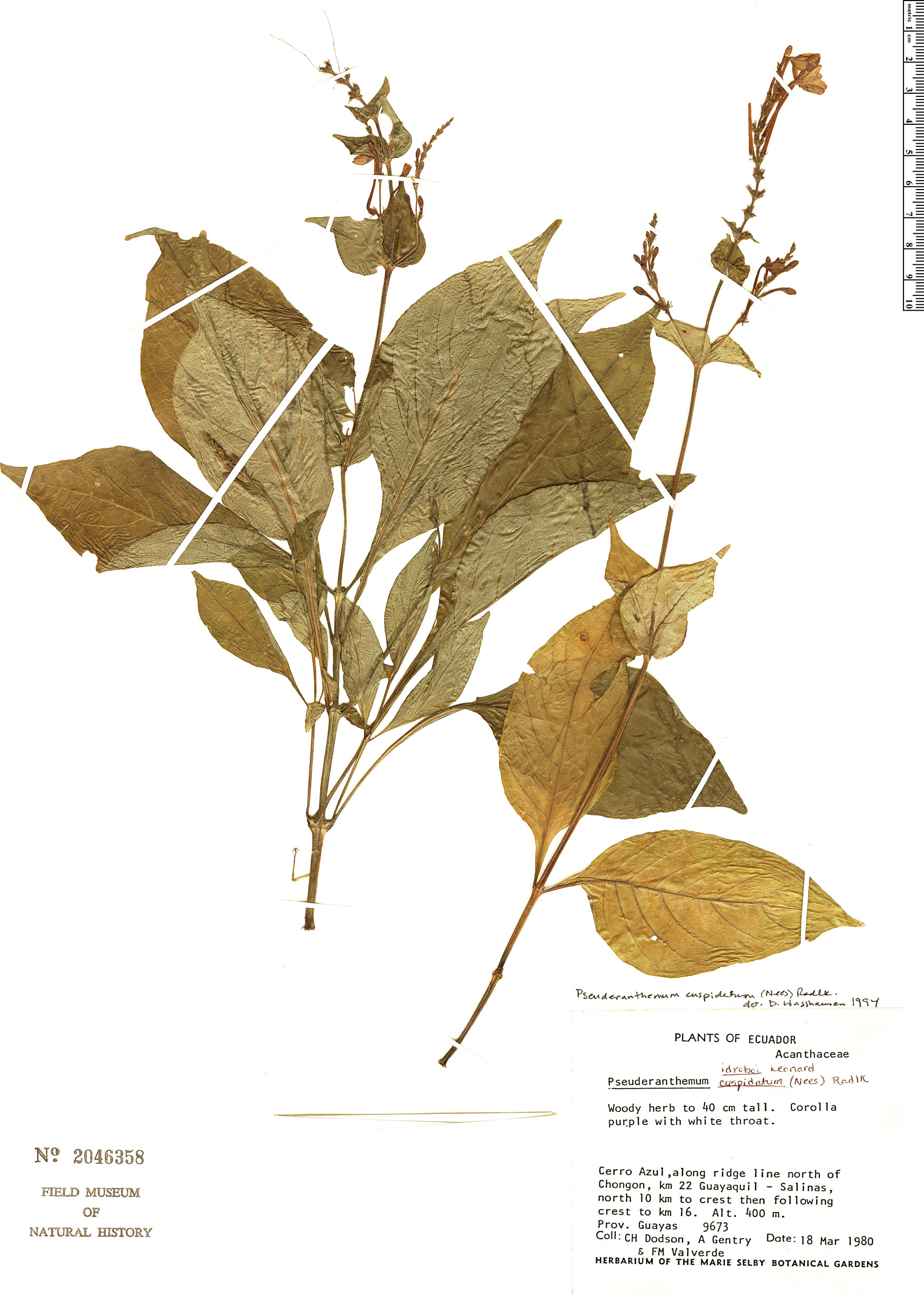 Specimen: Pseuderanthemum cuspidatum