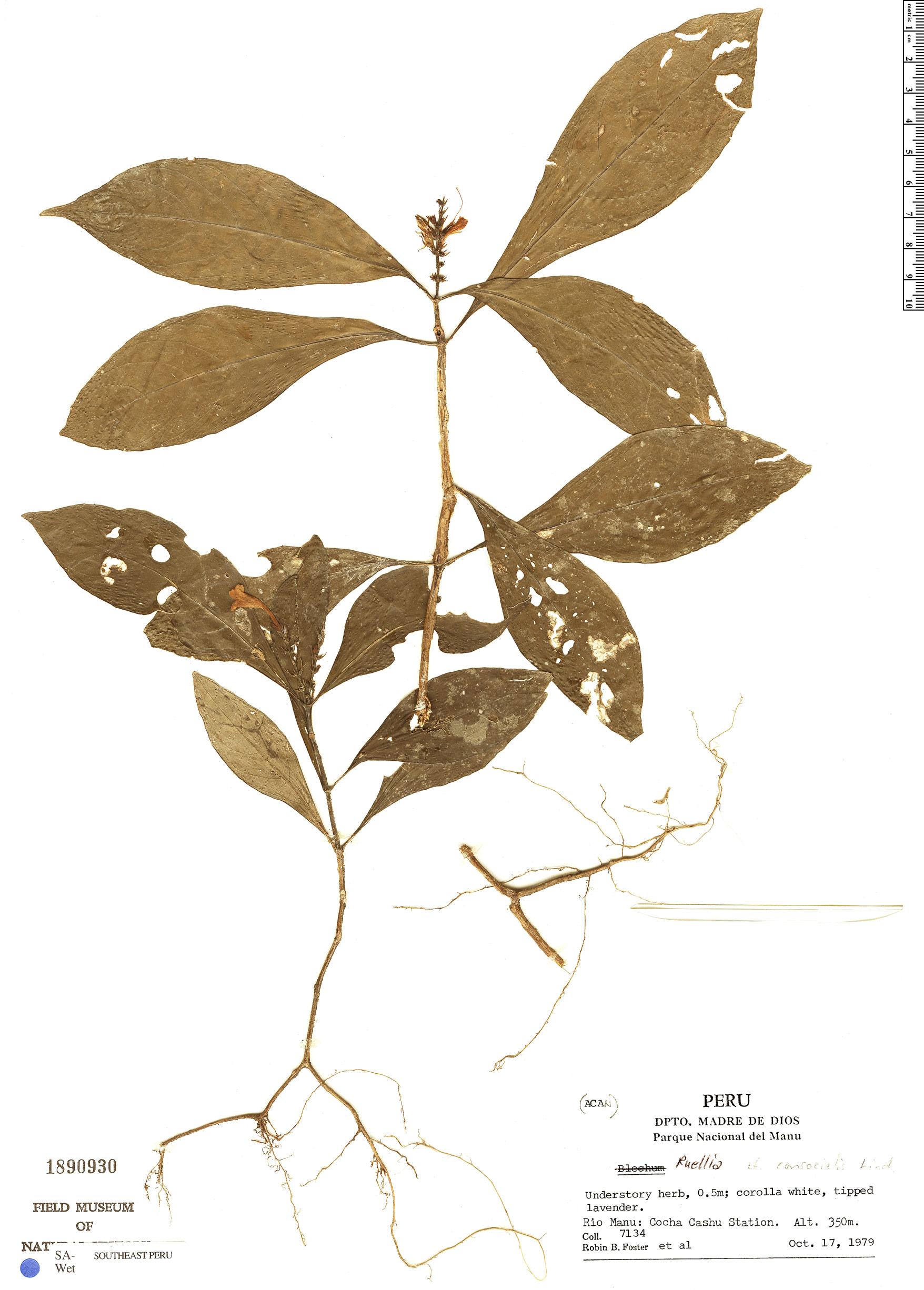 Espécime: Ruellia terminalis