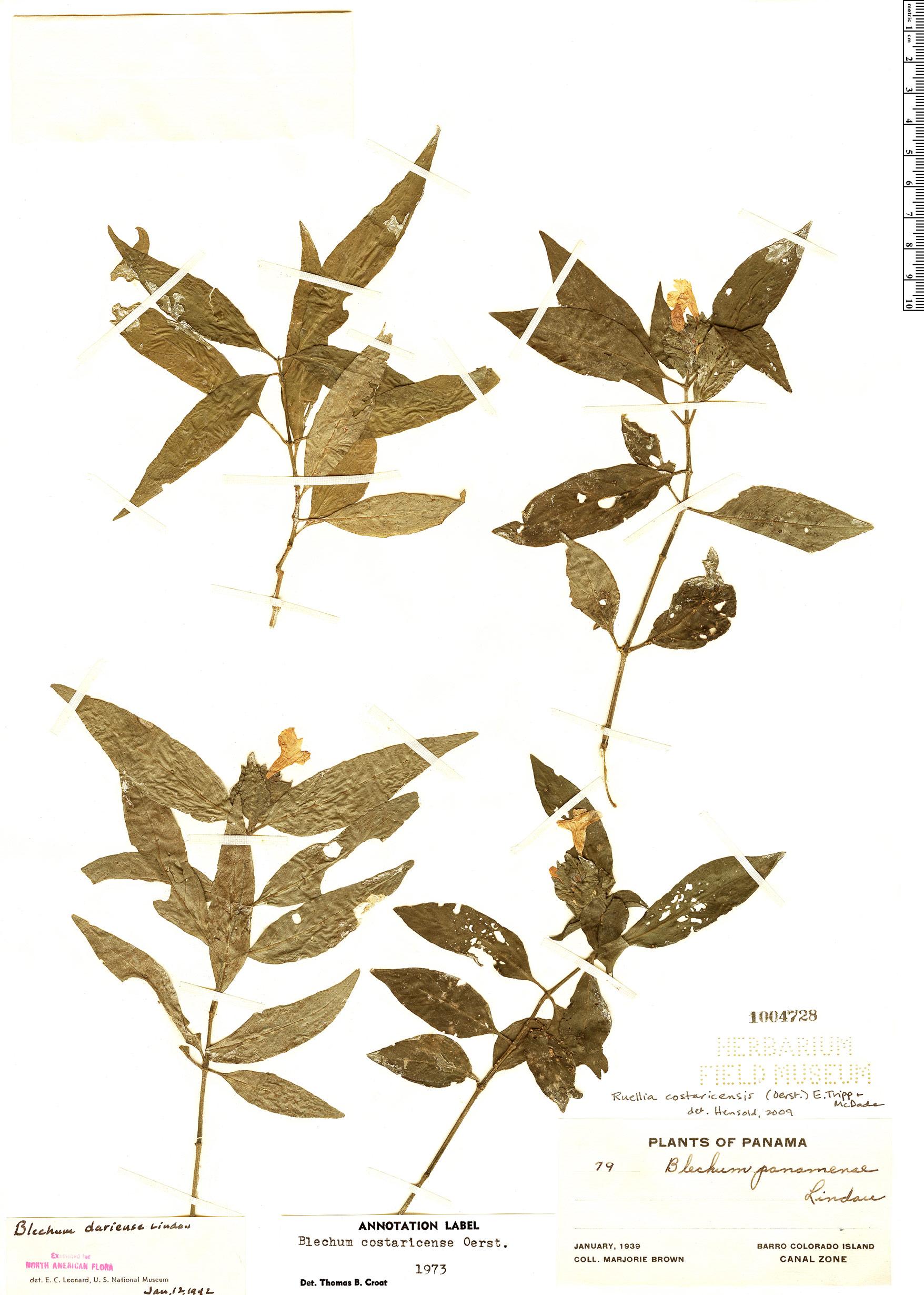 Specimen: Ruellia costaricensis