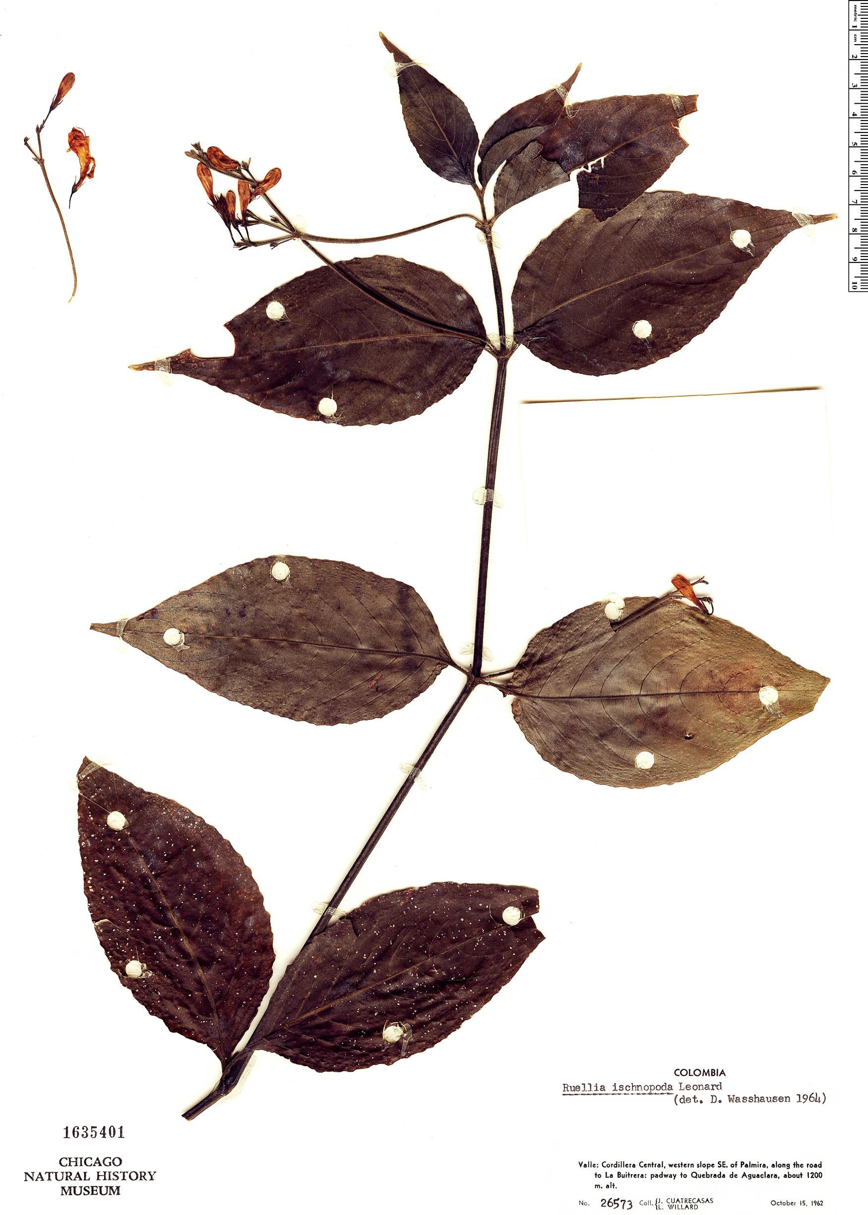 Specimen: Ruellia ischnopoda