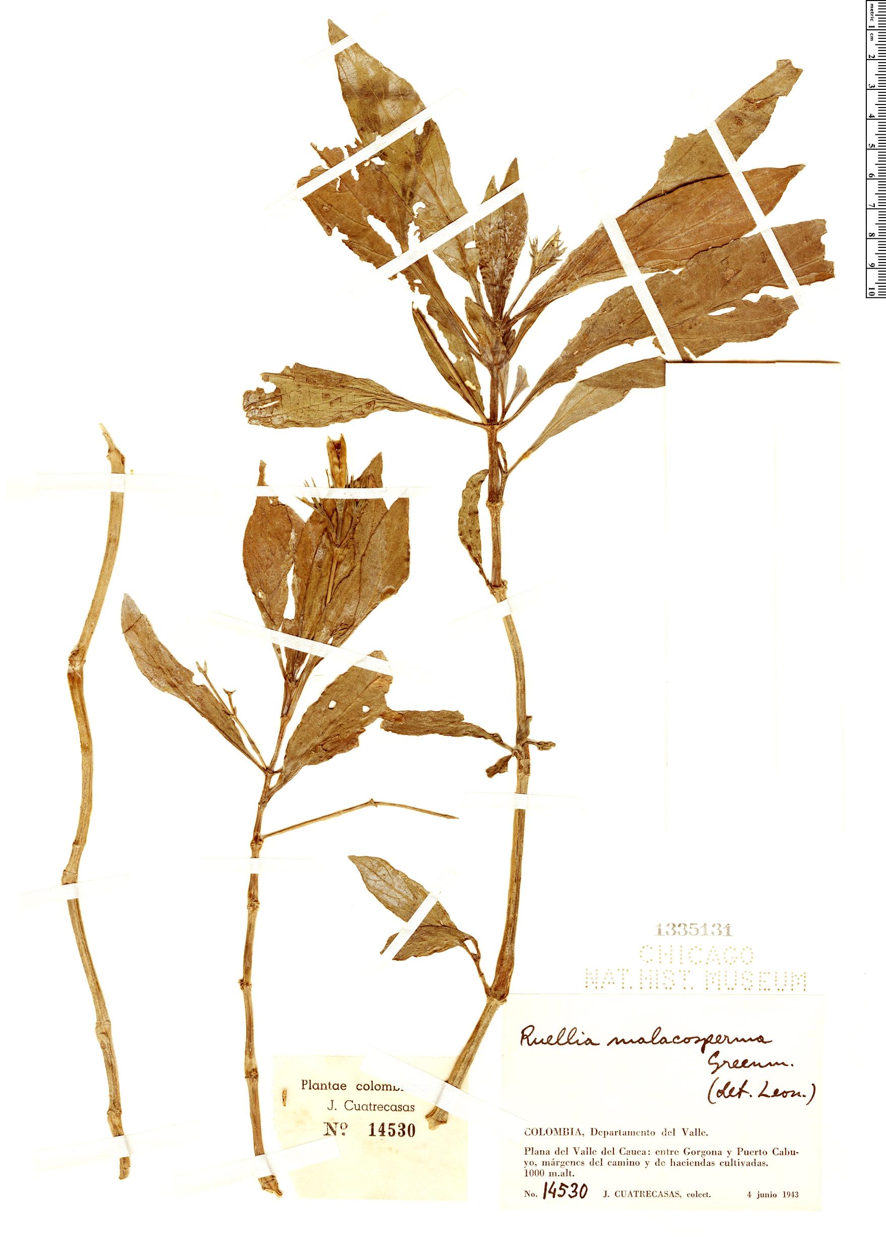 Specimen: Ruellia malacosperma