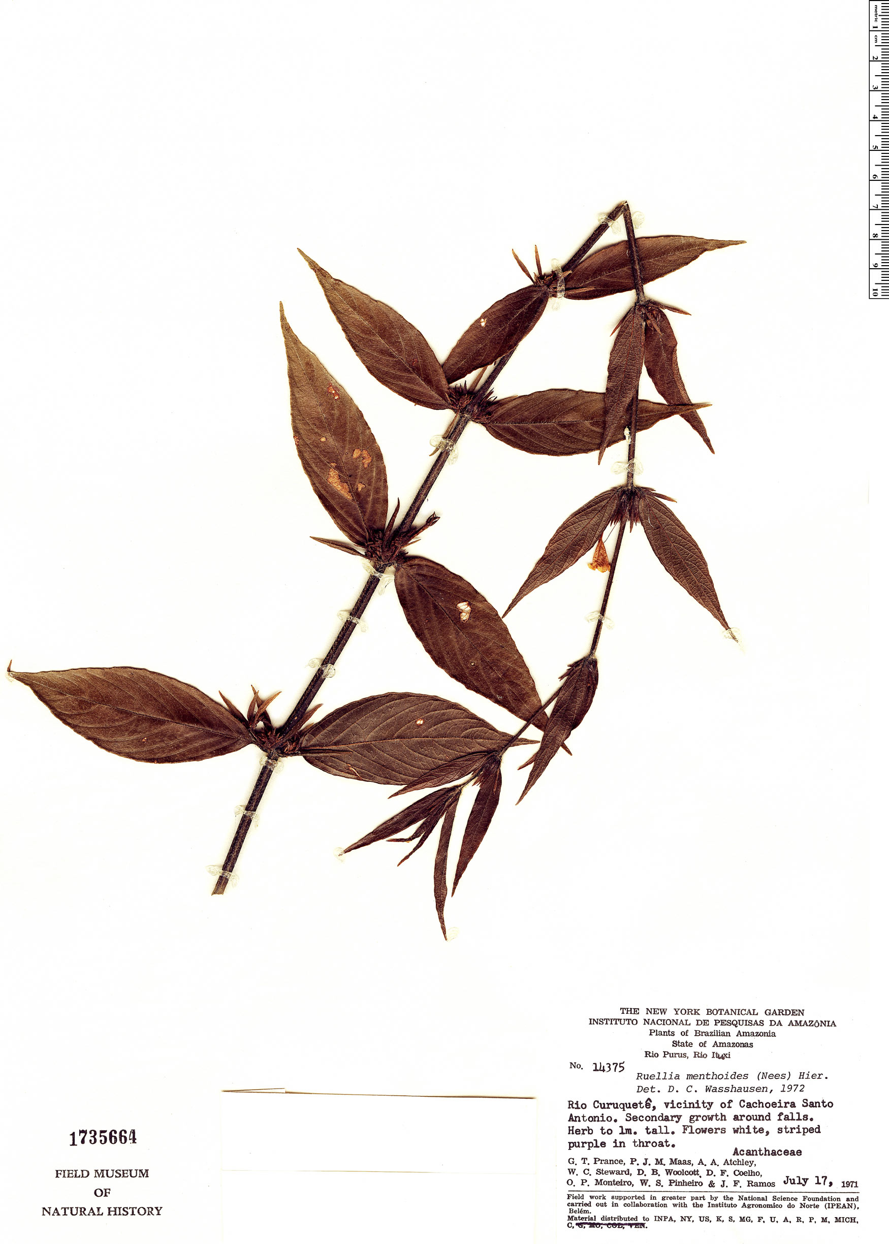 Specimen: Ruellia menthoides