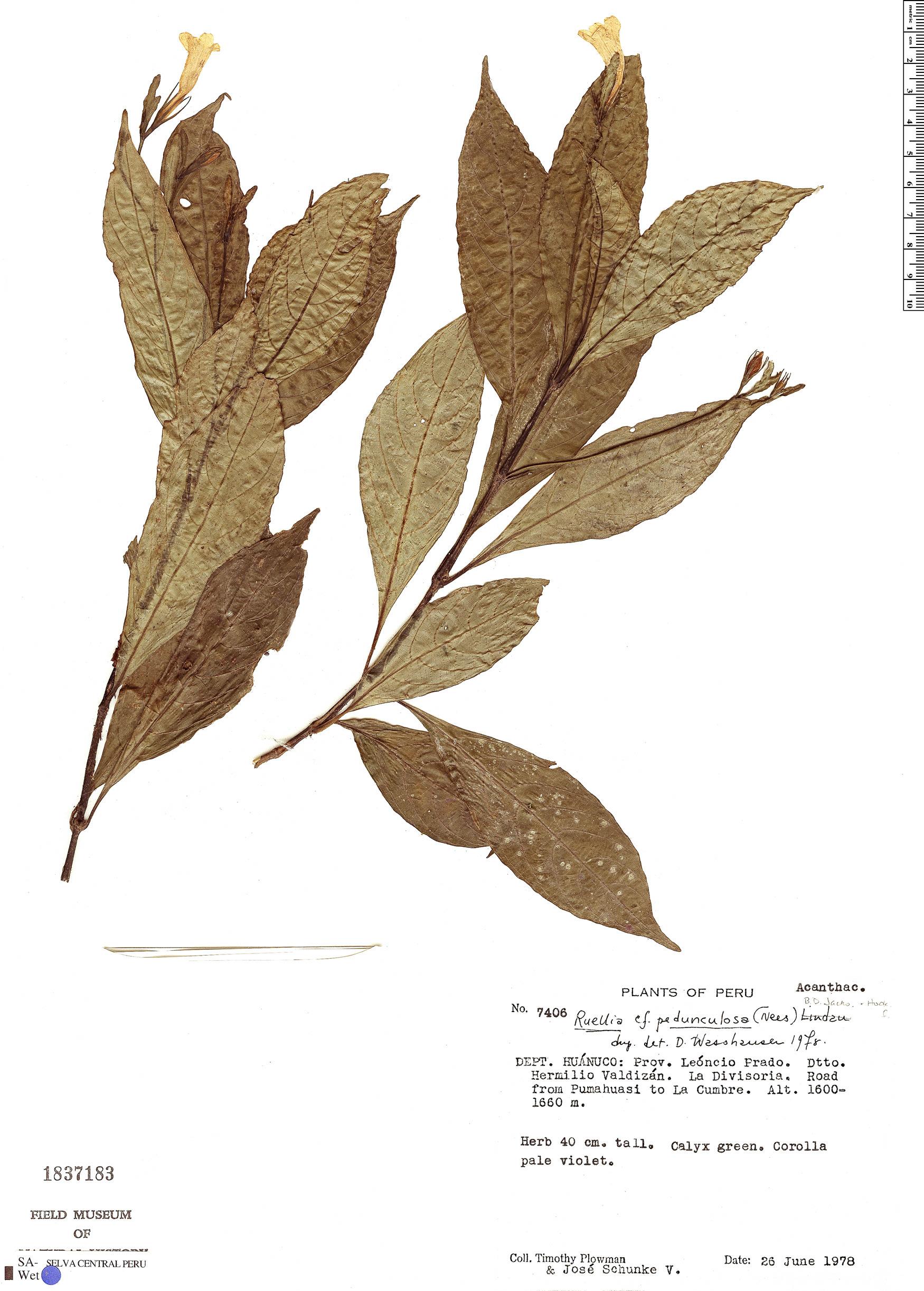 Specimen: Ruellia pedunculosa