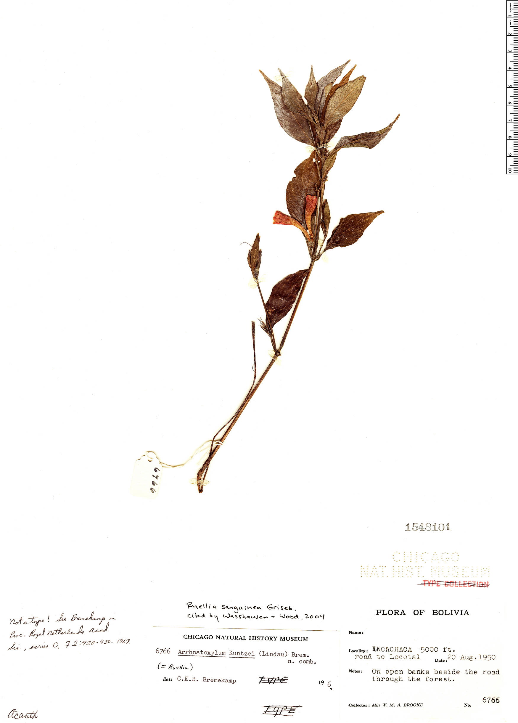 Specimen: Ruellia sanguinea