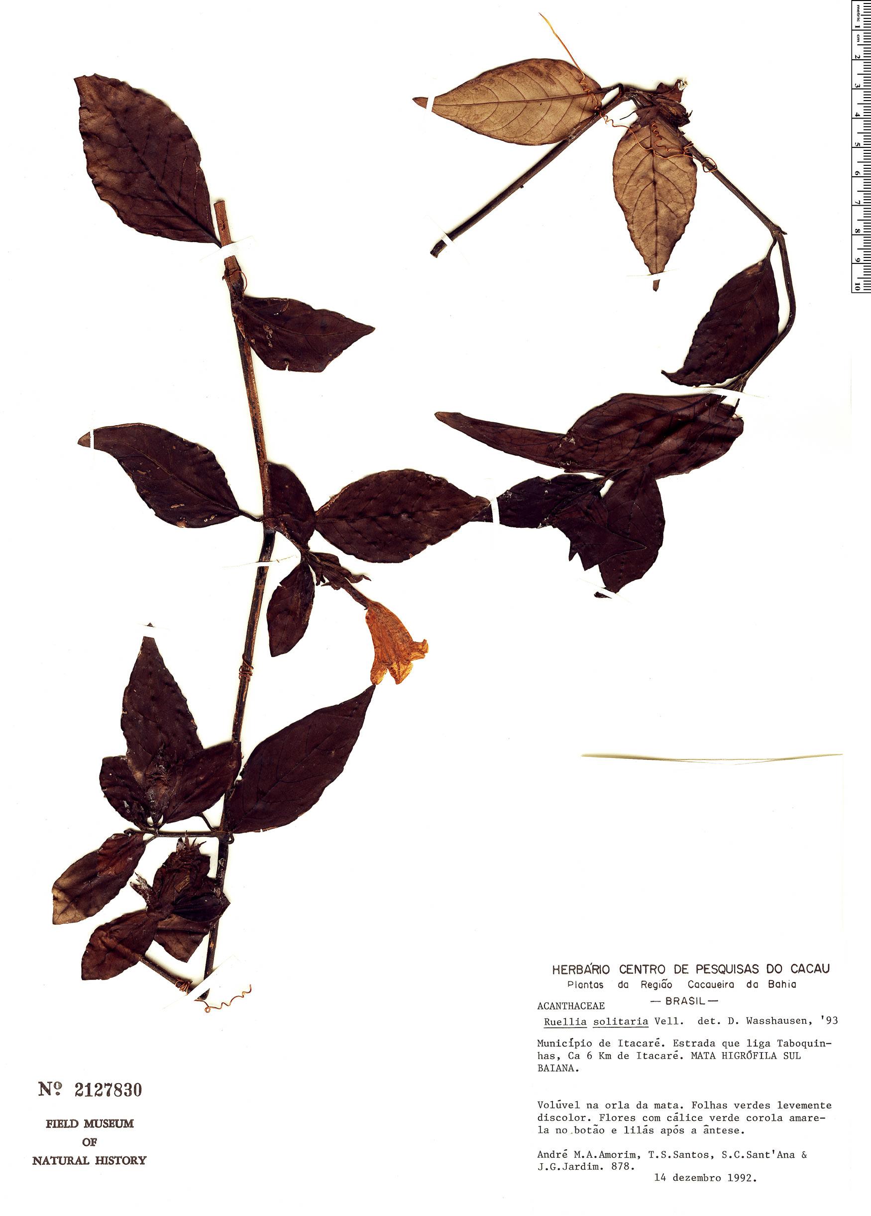 Specimen: Ruellia solitaria