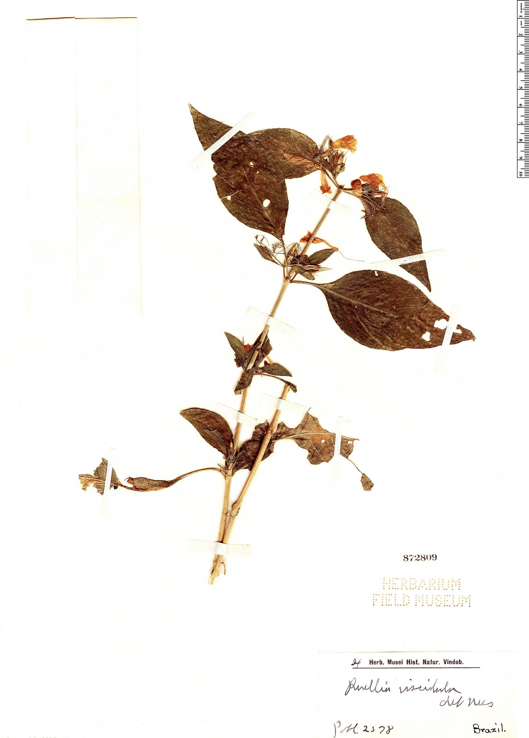 Specimen: Ruellia viscidula