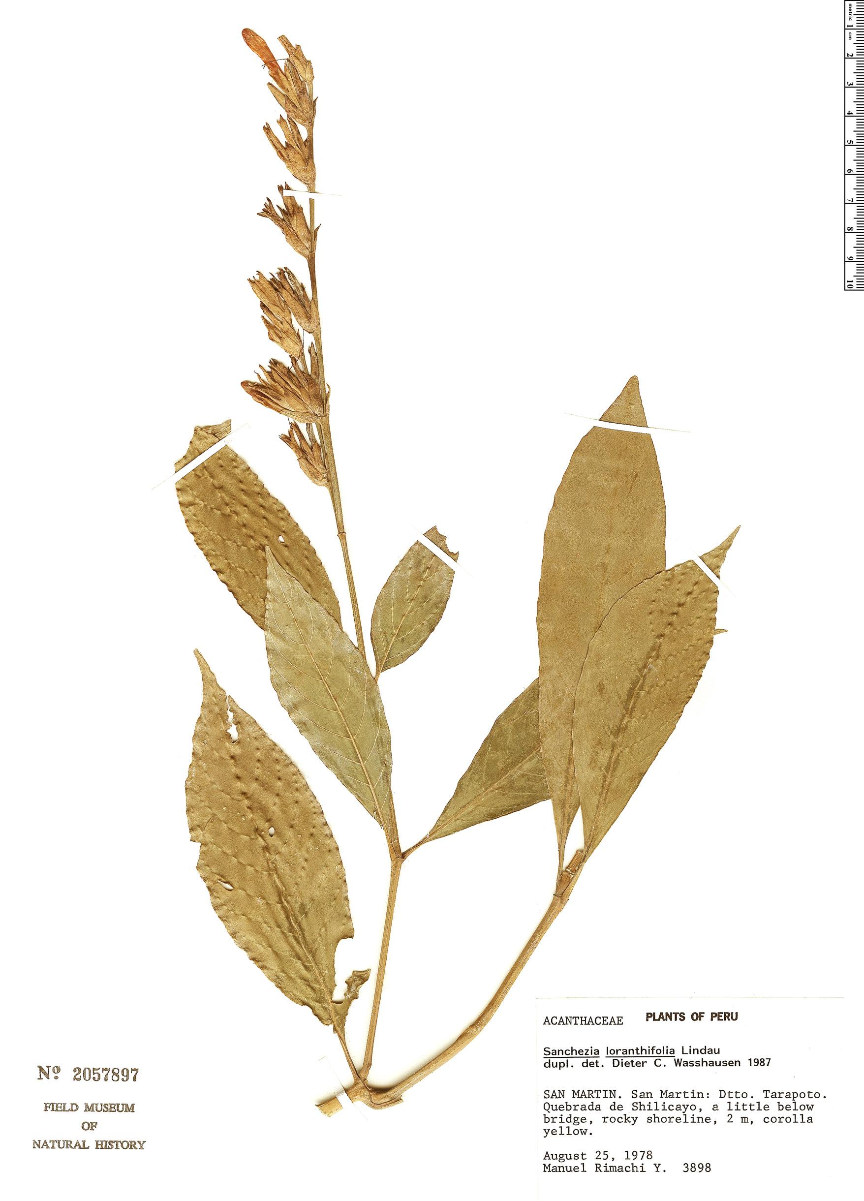 Specimen: Sanchezia loranthifolia