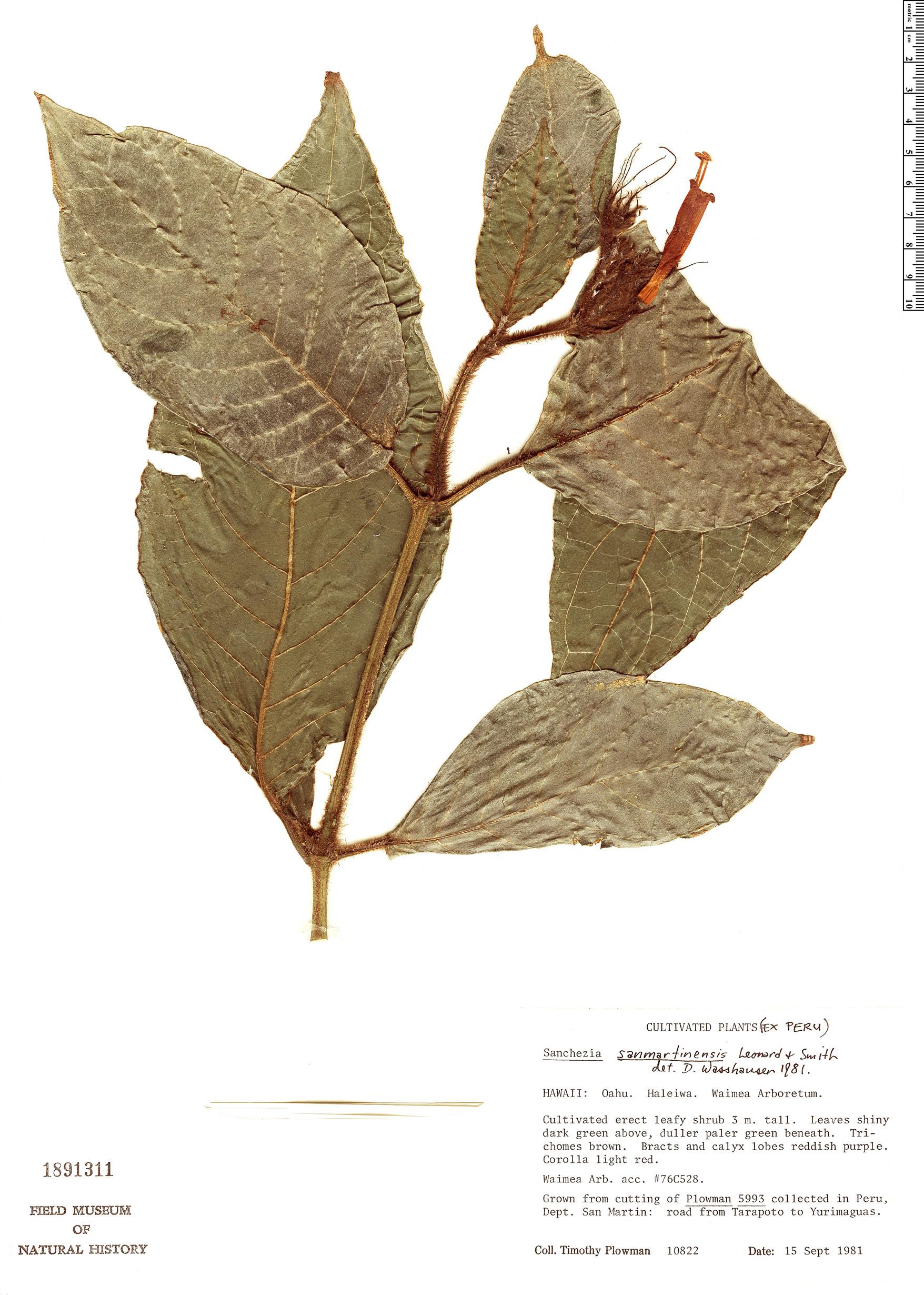 Specimen: Sanchezia sanmartinensis
