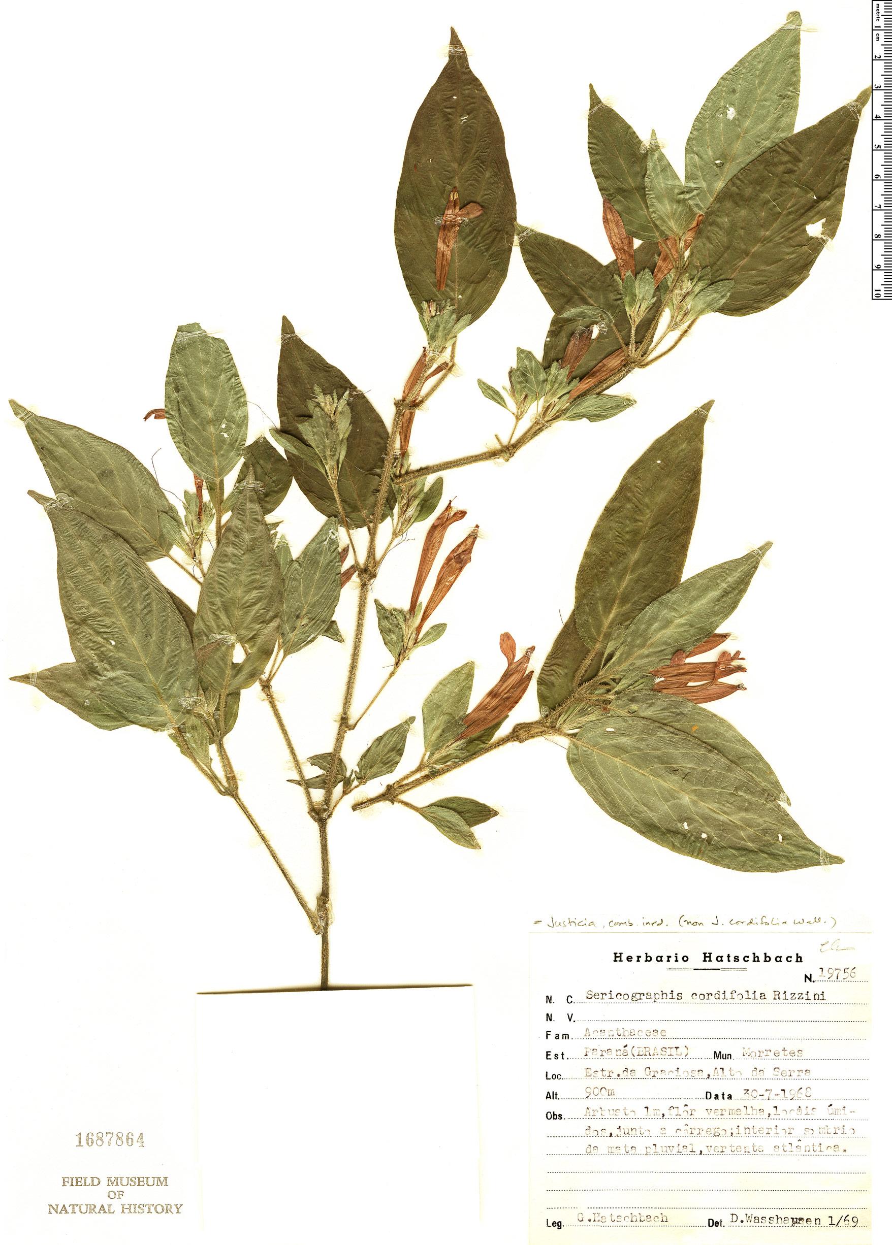 Espécime: Sericographis cordifolia
