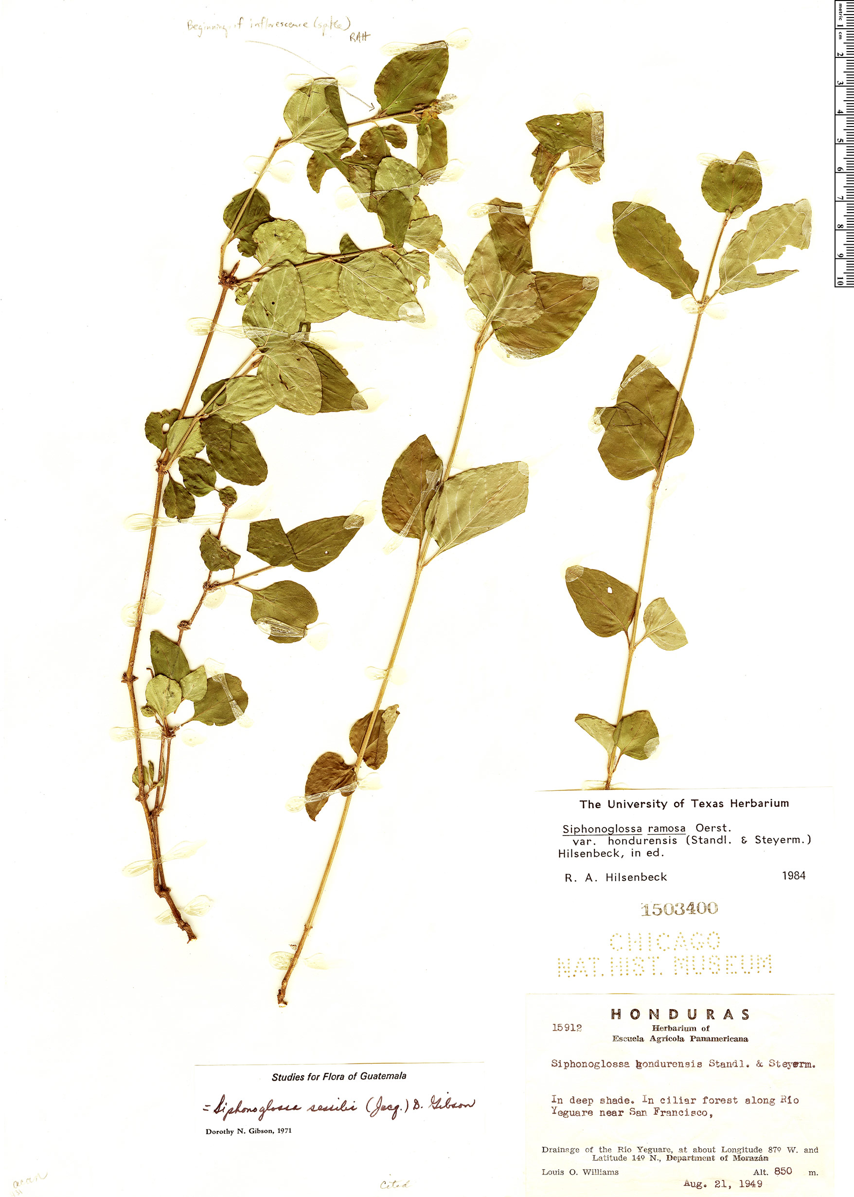 Espécimen: Siphonoglossa ramosa