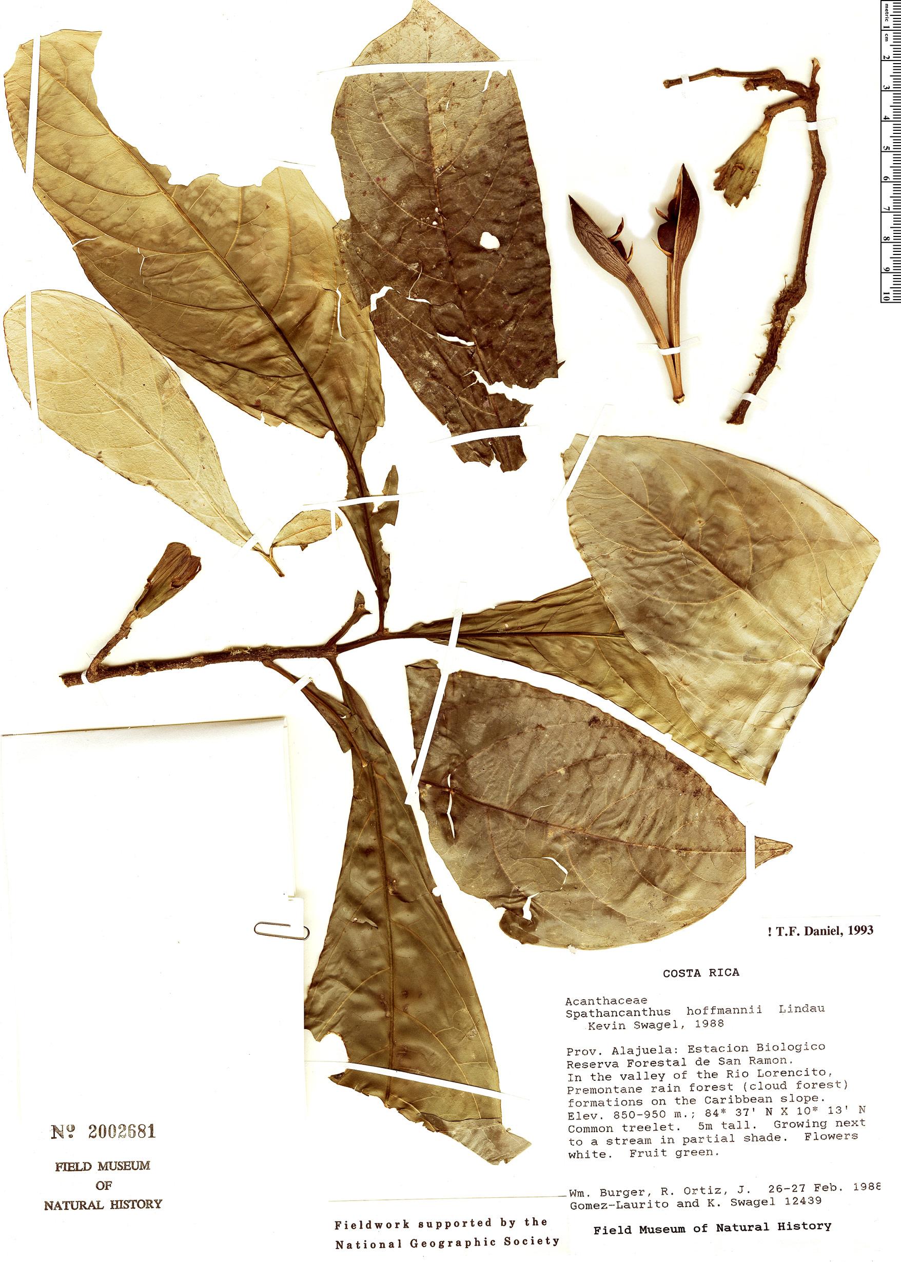 Specimen: Spathacanthus hoffmannii
