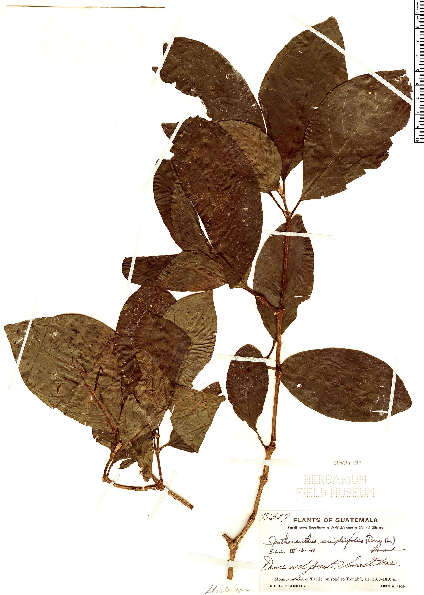 Specimen: Spathacanthus simplicifolius