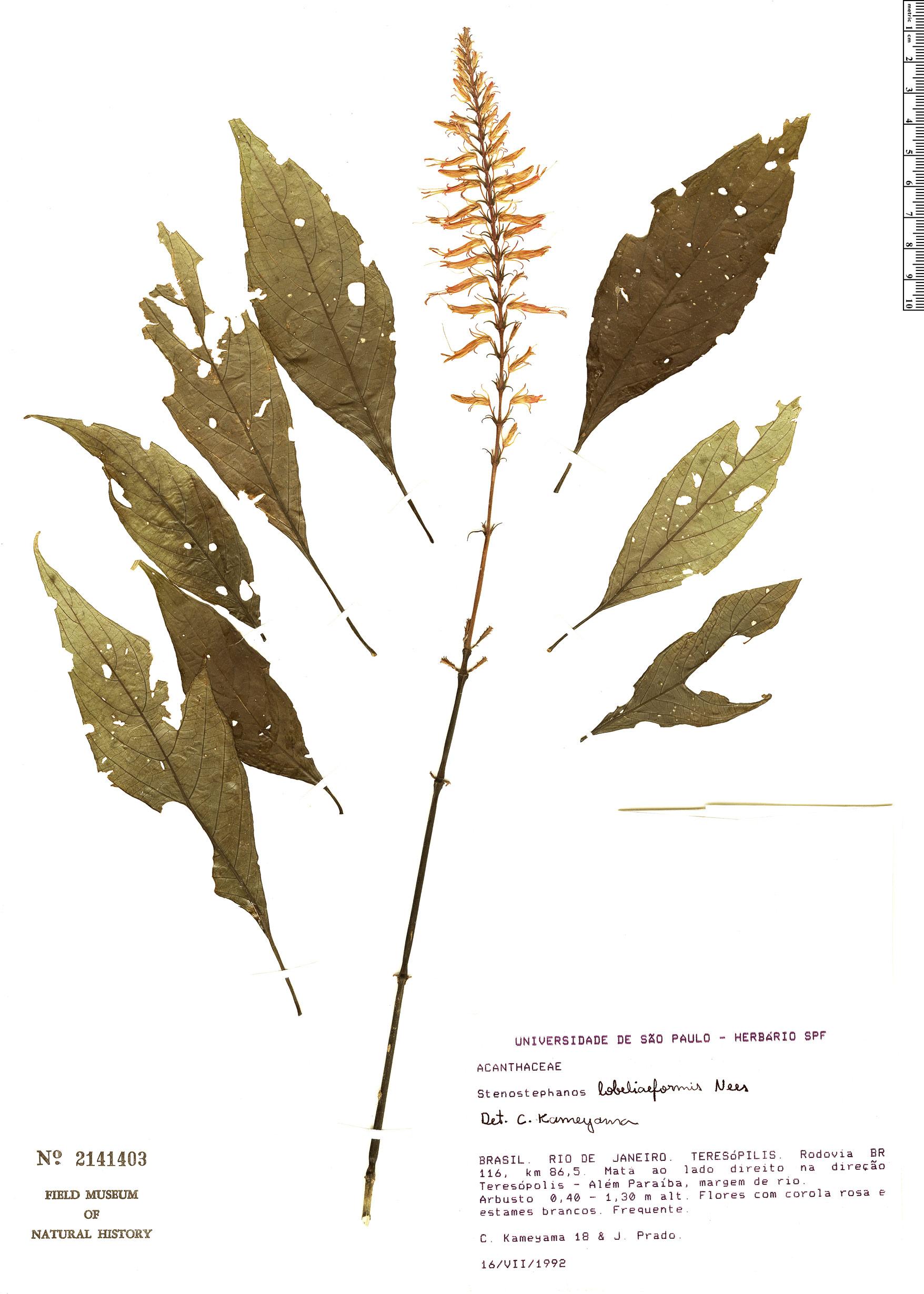 Specimen: Stenostephanus lobeliiformis