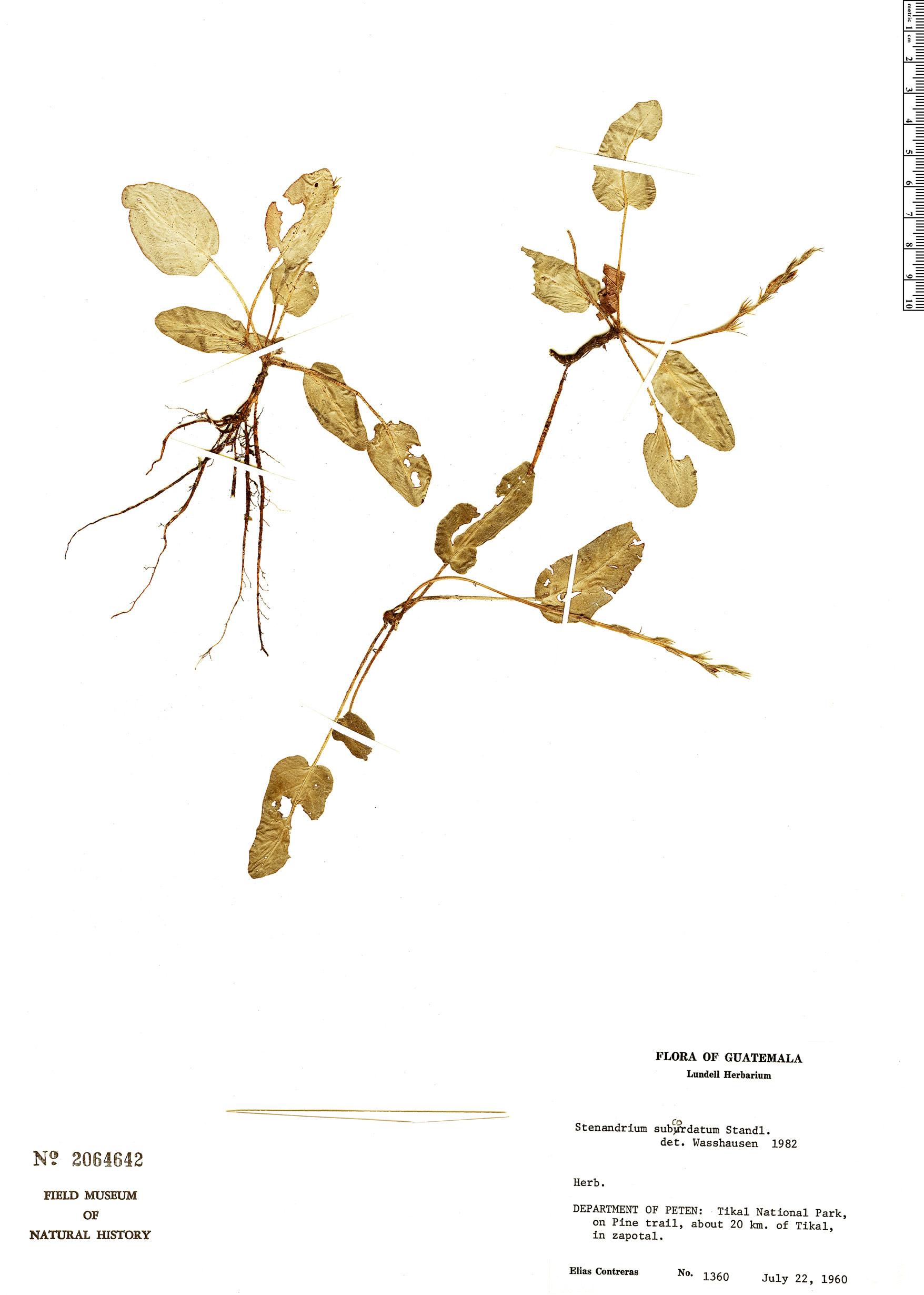 Specimen: Stenandrium subcordatum