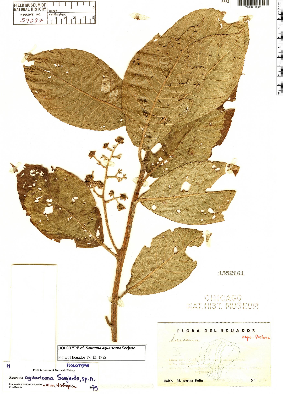 Espécimen: Saurauia aguaricana