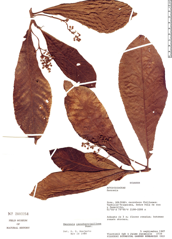 Specimen: Saurauia pseudostrigillosa