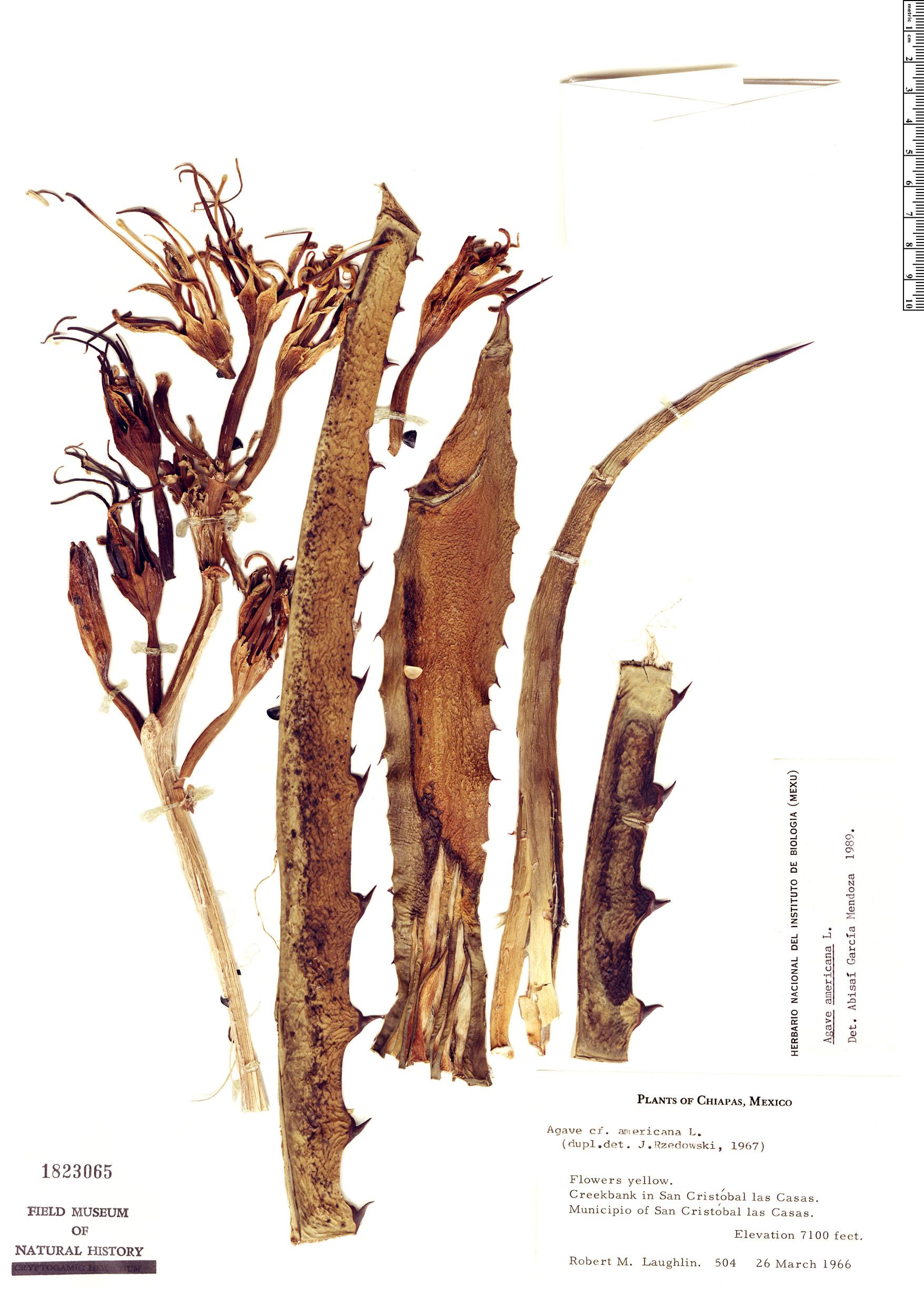 Specimen: Agave americana