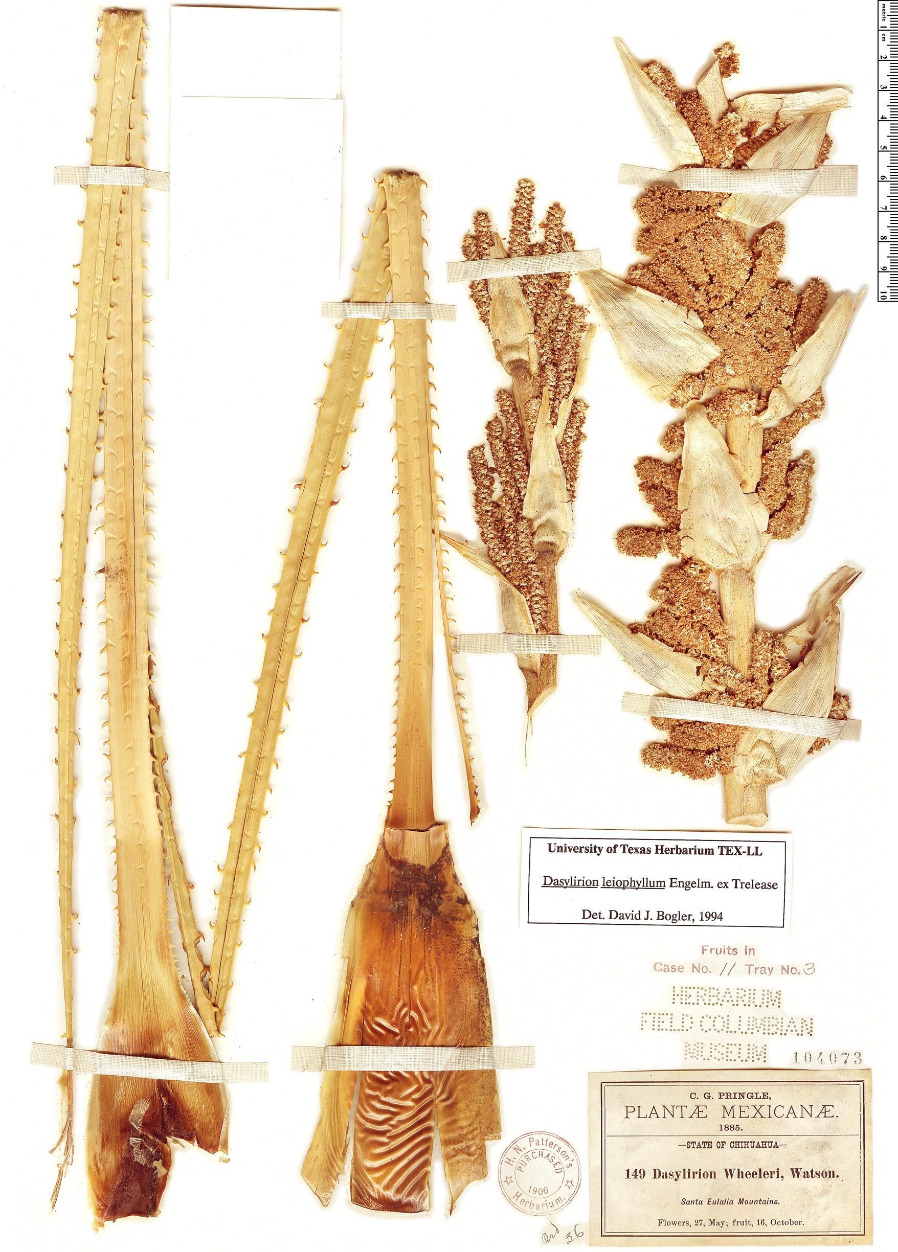 Specimen: Dasylirion leiophyllum