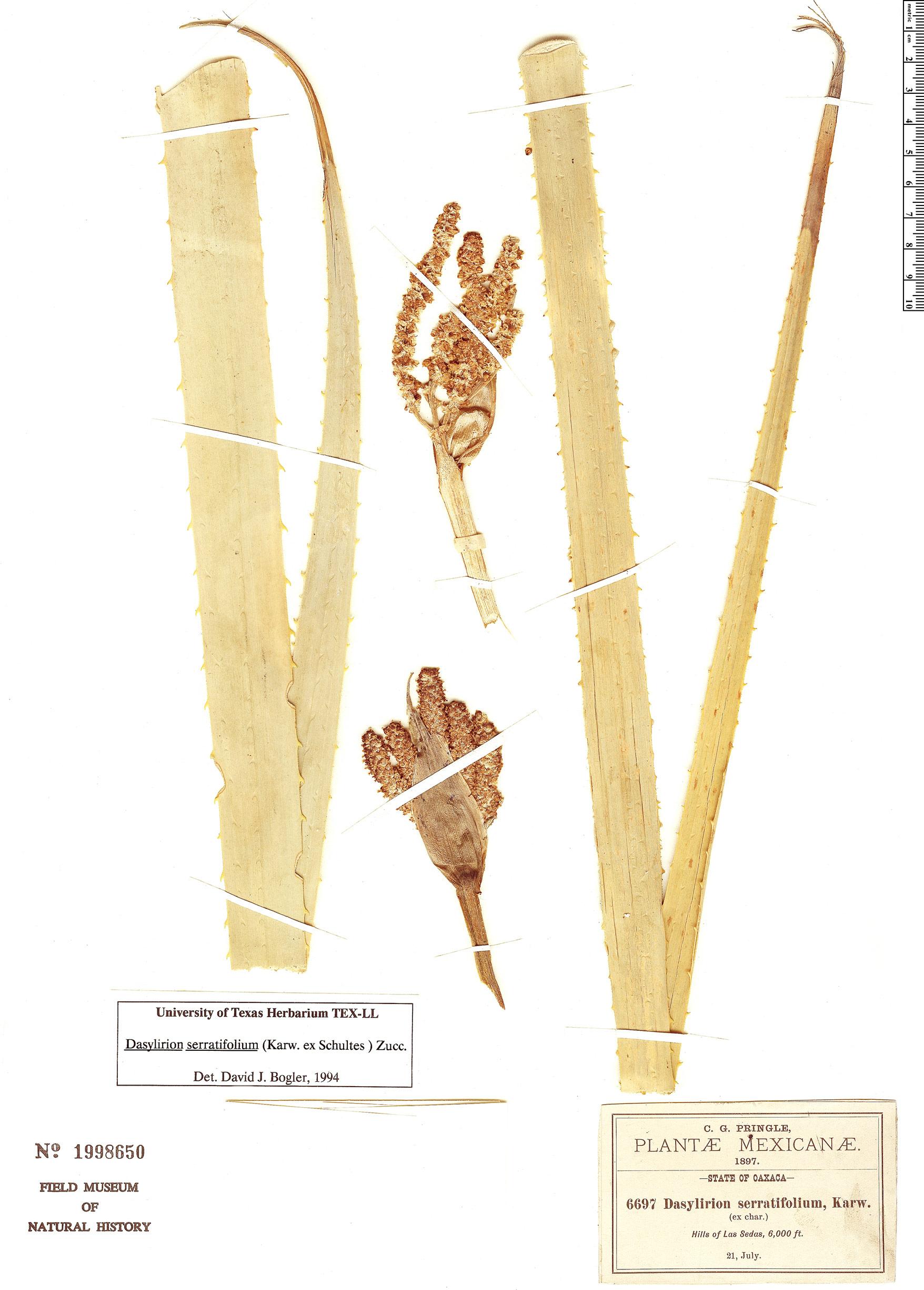 Specimen: Dasylirion serratifolium