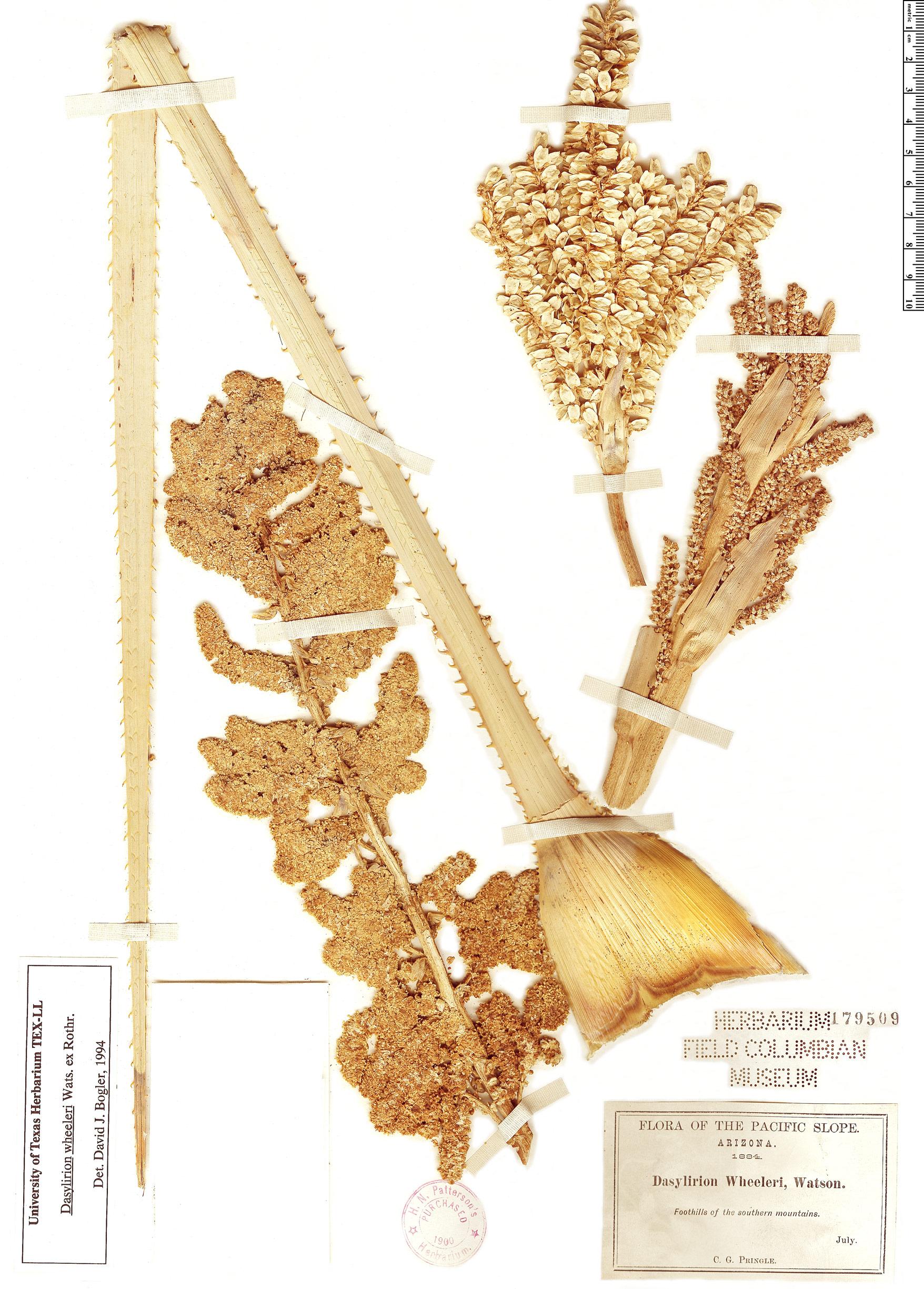Specimen: Dasylirion wheeleri
