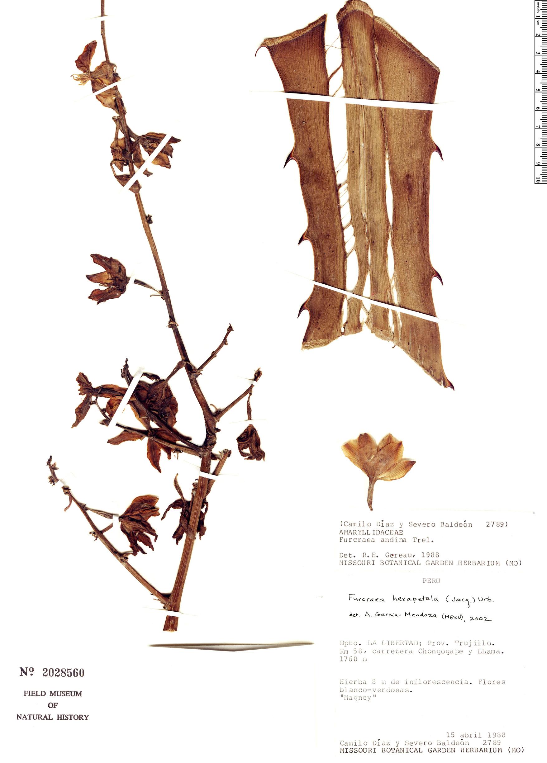 Specimen: Furcraea hexapetala