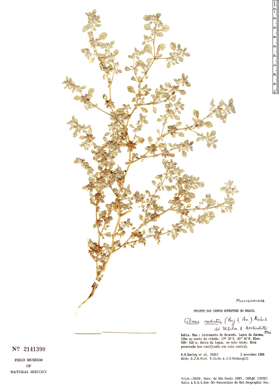 Specimen: Glinus radiatus