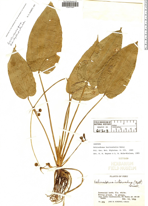 Specimen: Echinodorus horizontalis