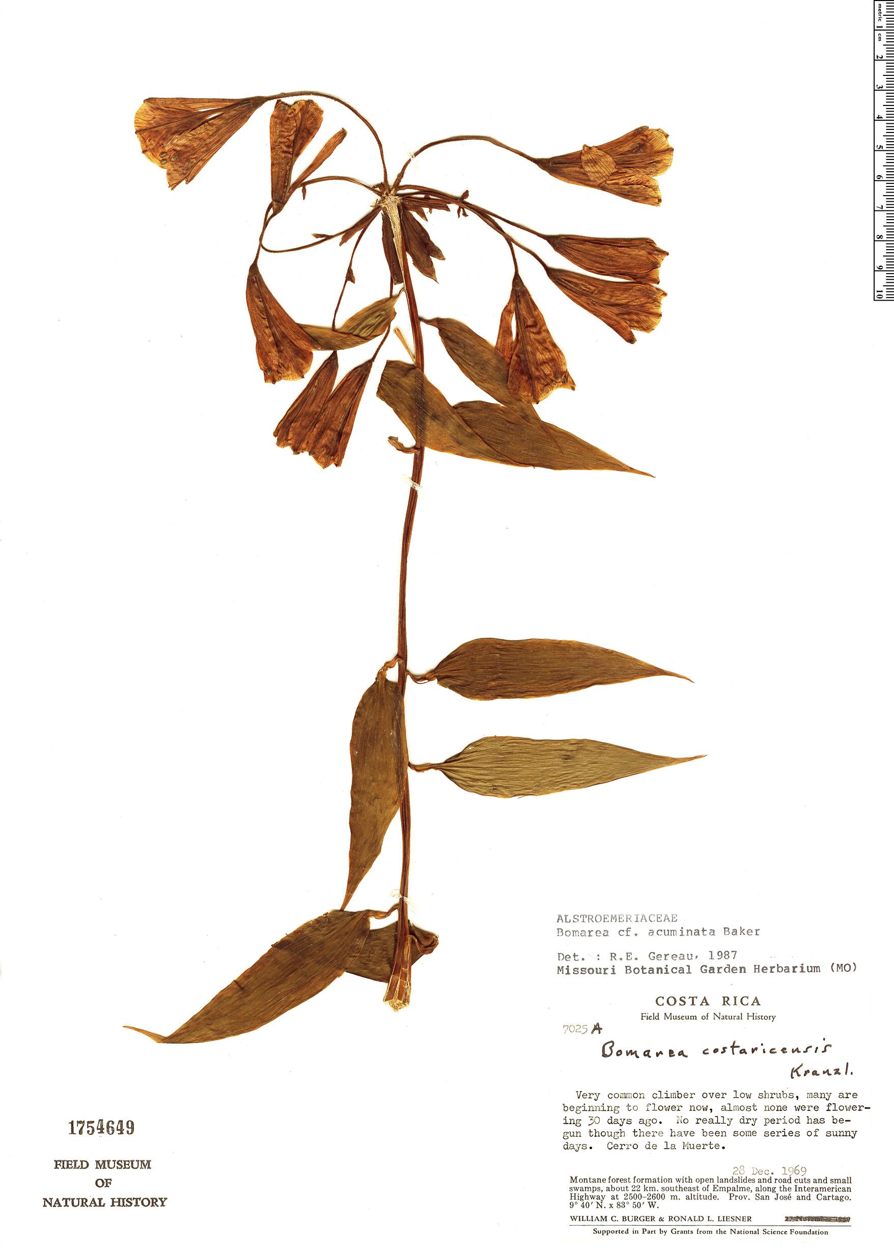 Specimen: Bomarea acuminata