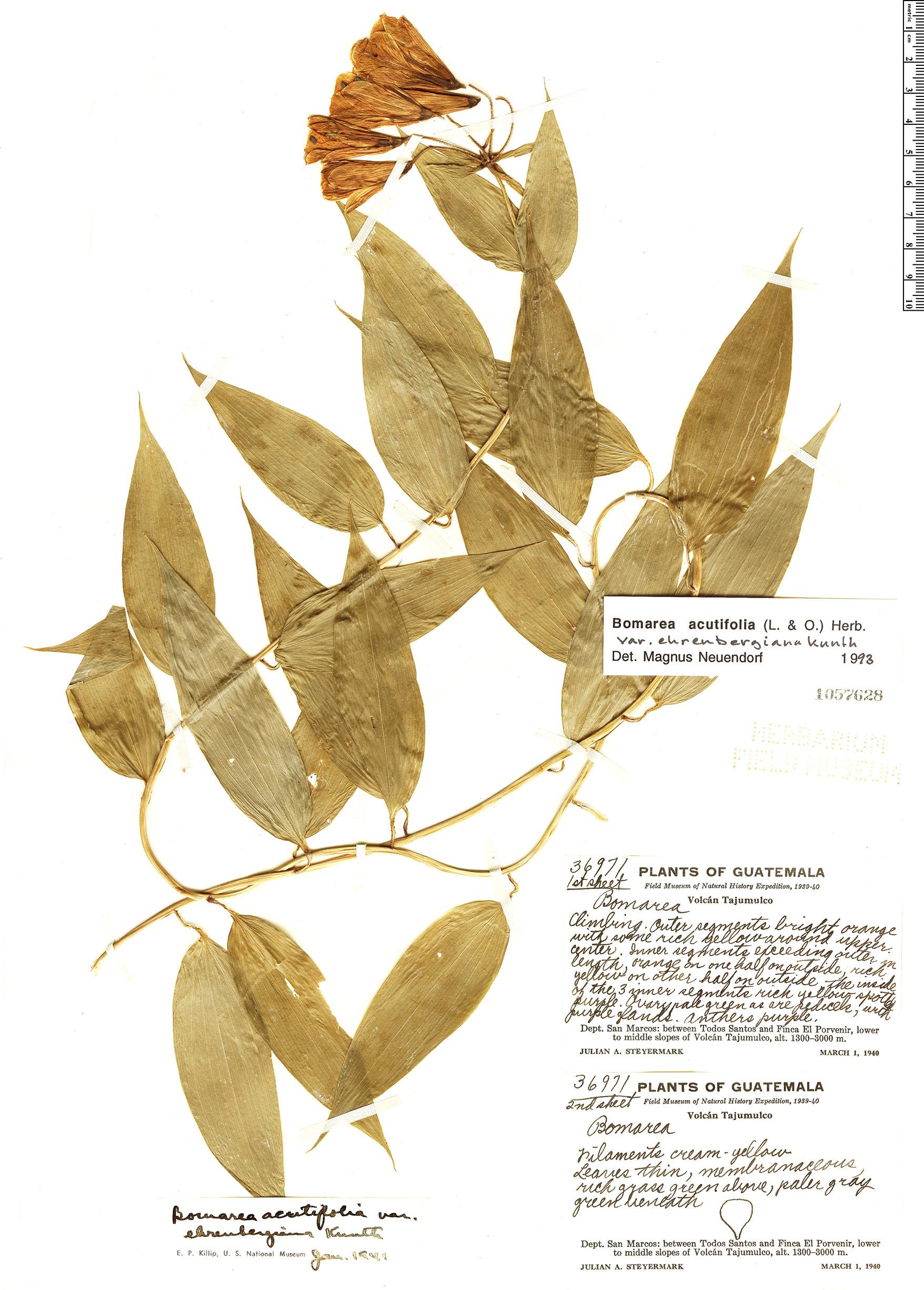 Specimen: Bomarea acutifolia