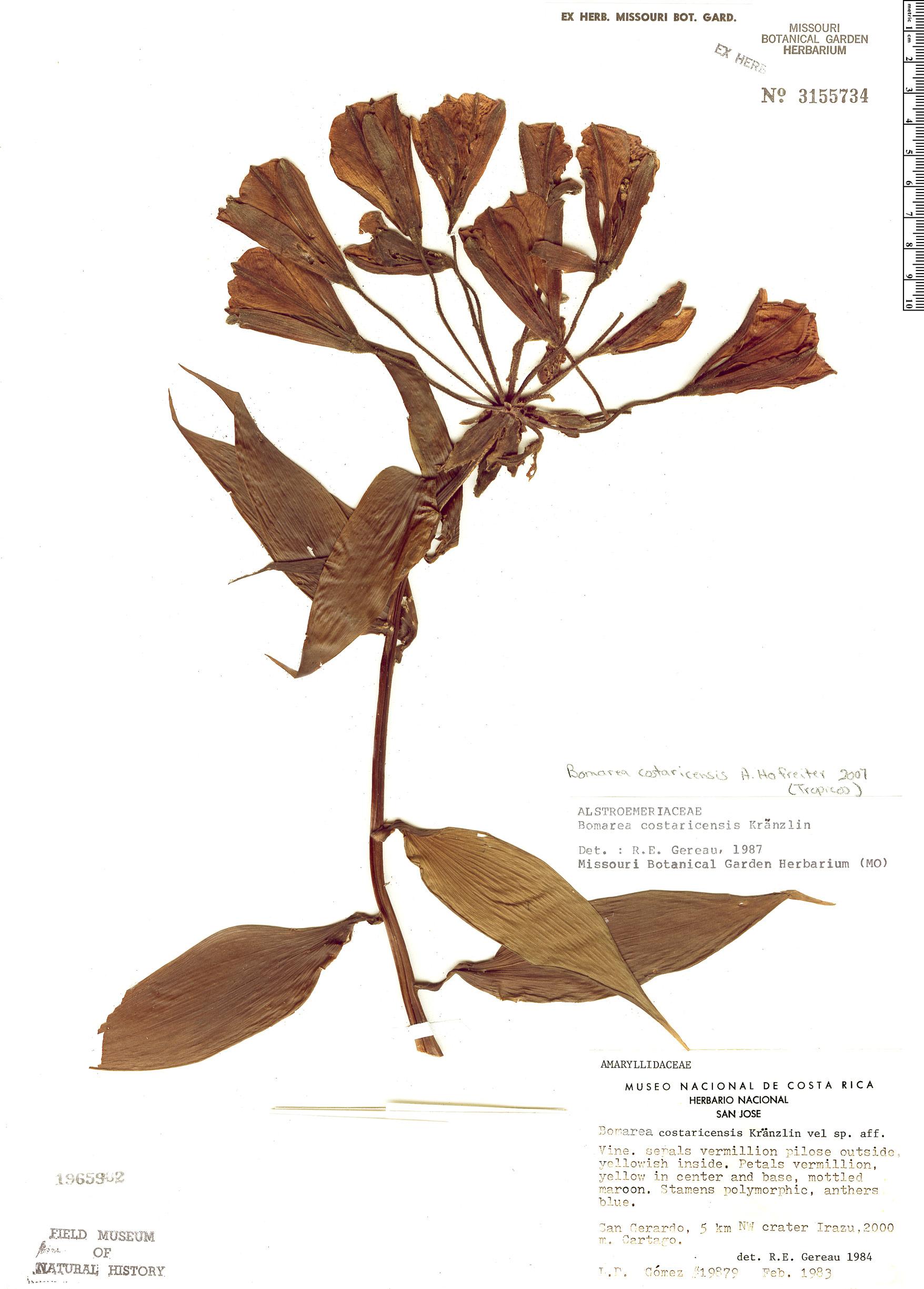 Specimen: Bomarea costaricensis
