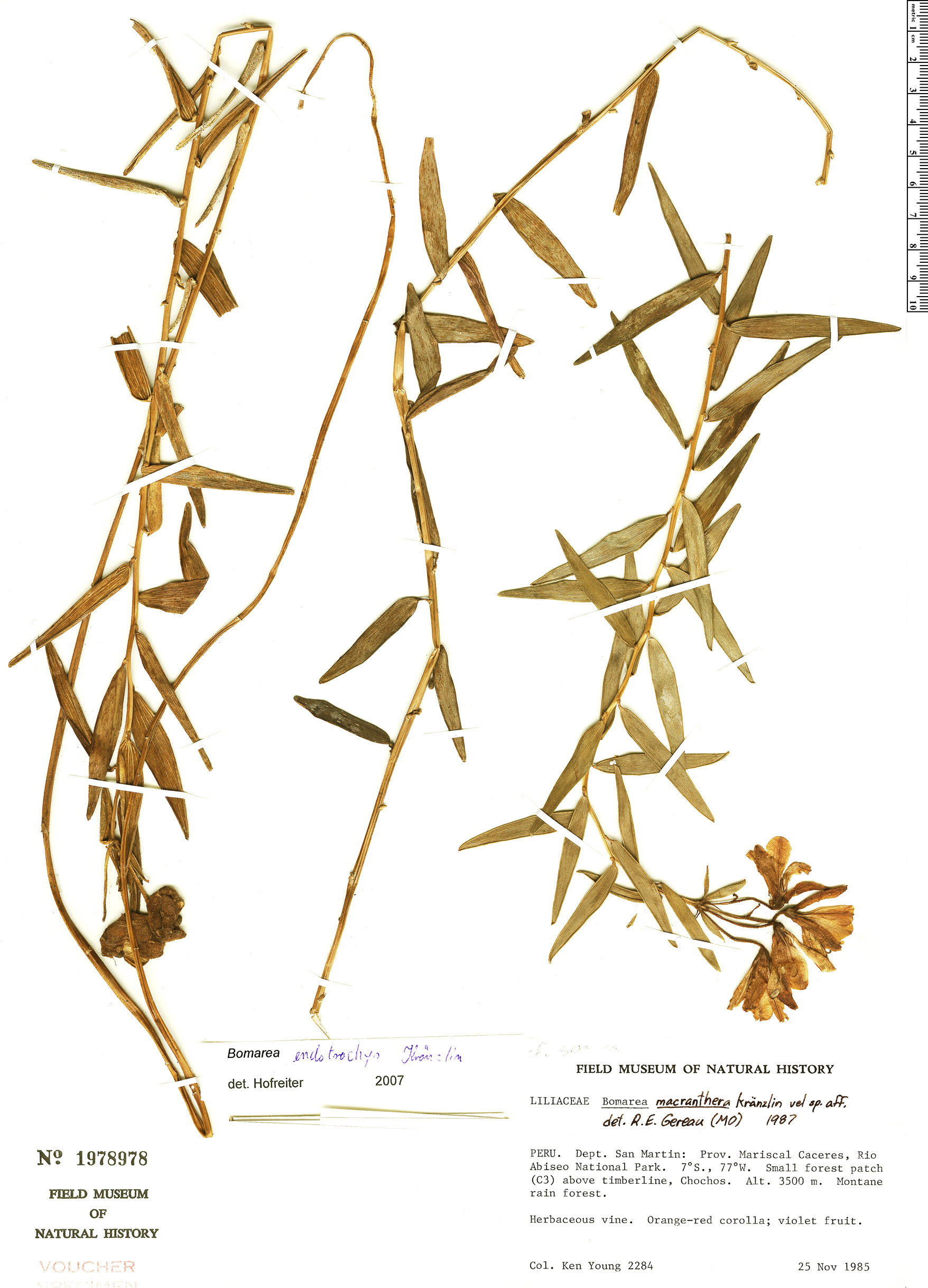Specimen: Bomarea endotrachys