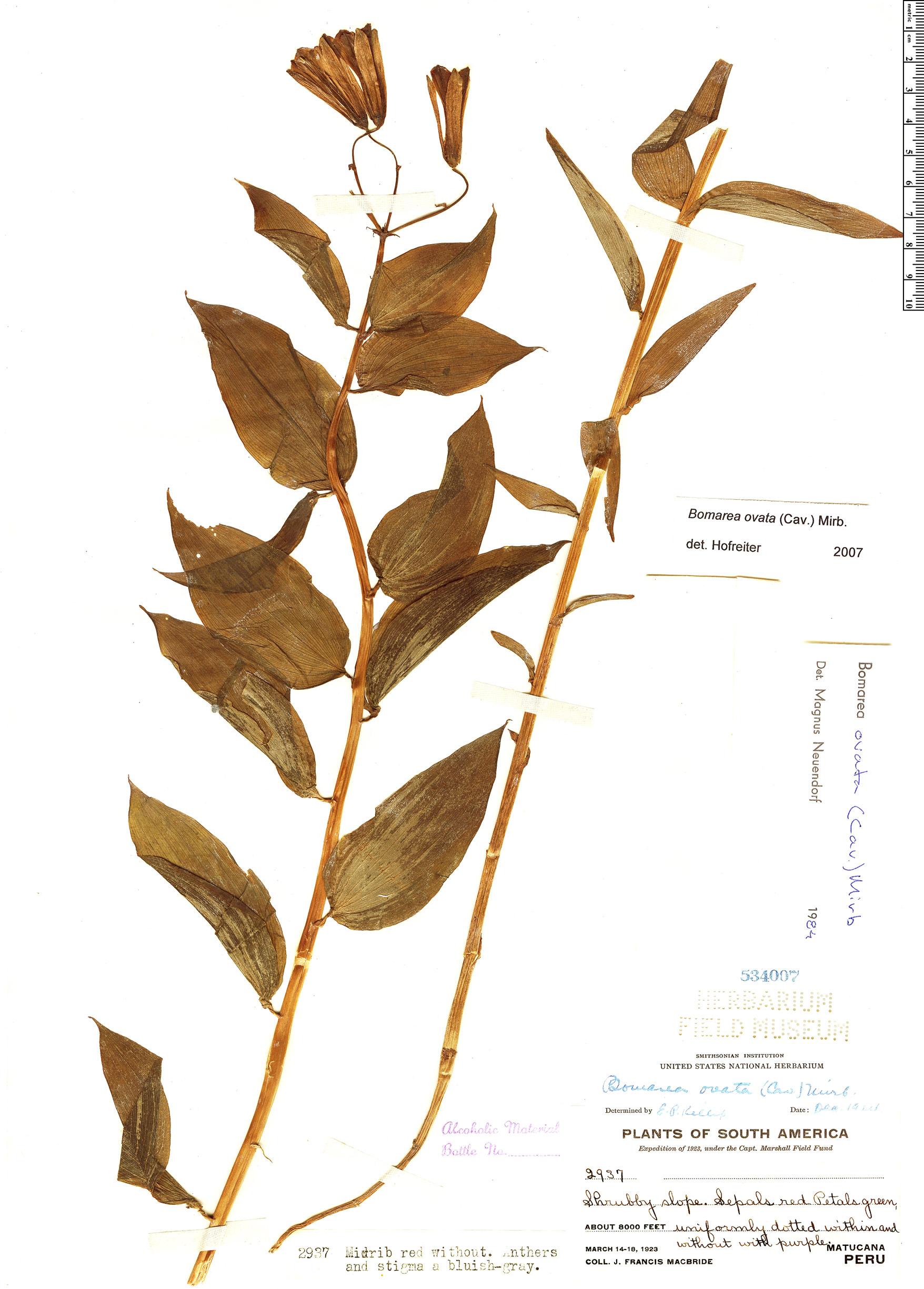 Espécime: Bomarea ovata