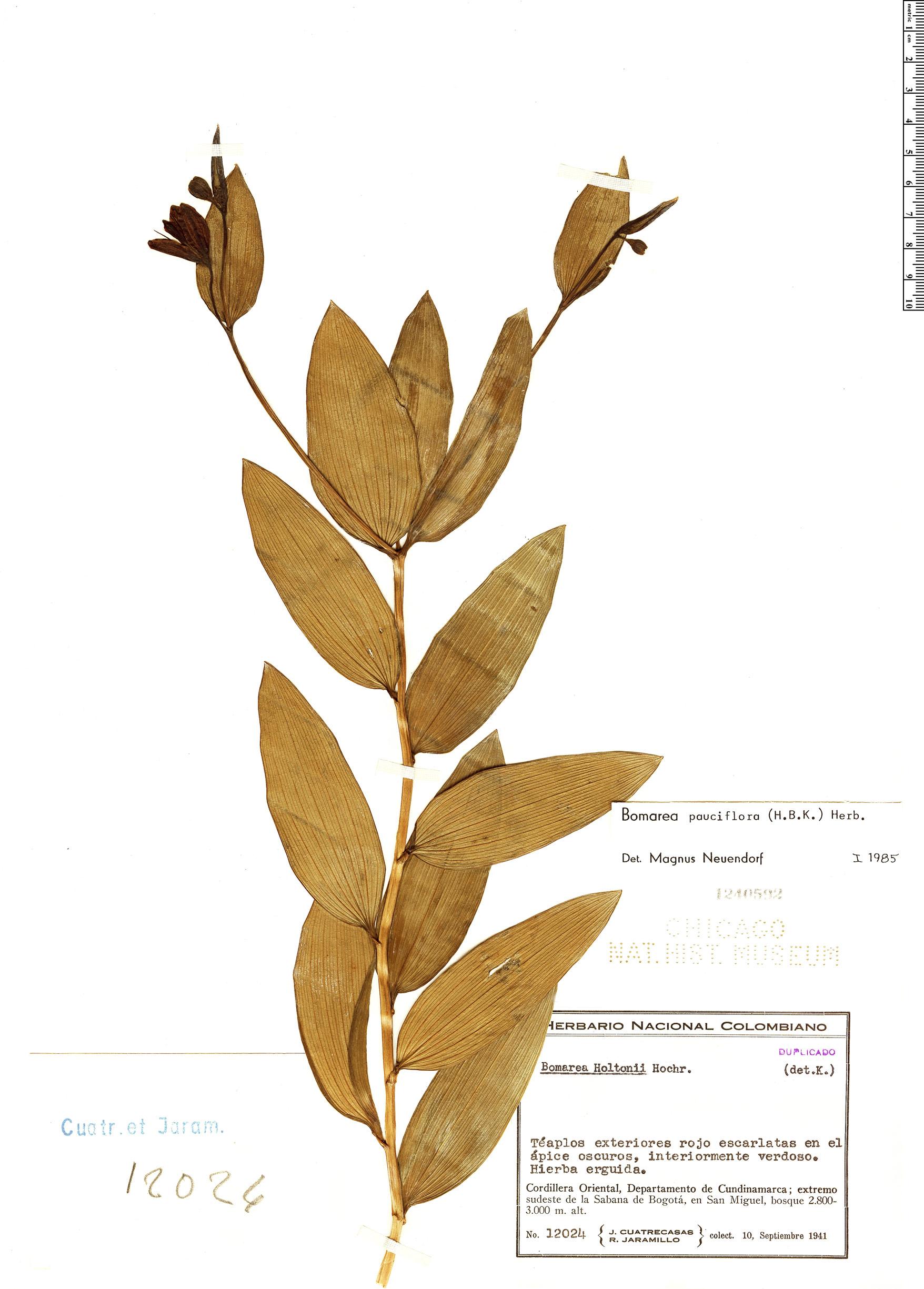 Specimen: Bomarea pauciflora