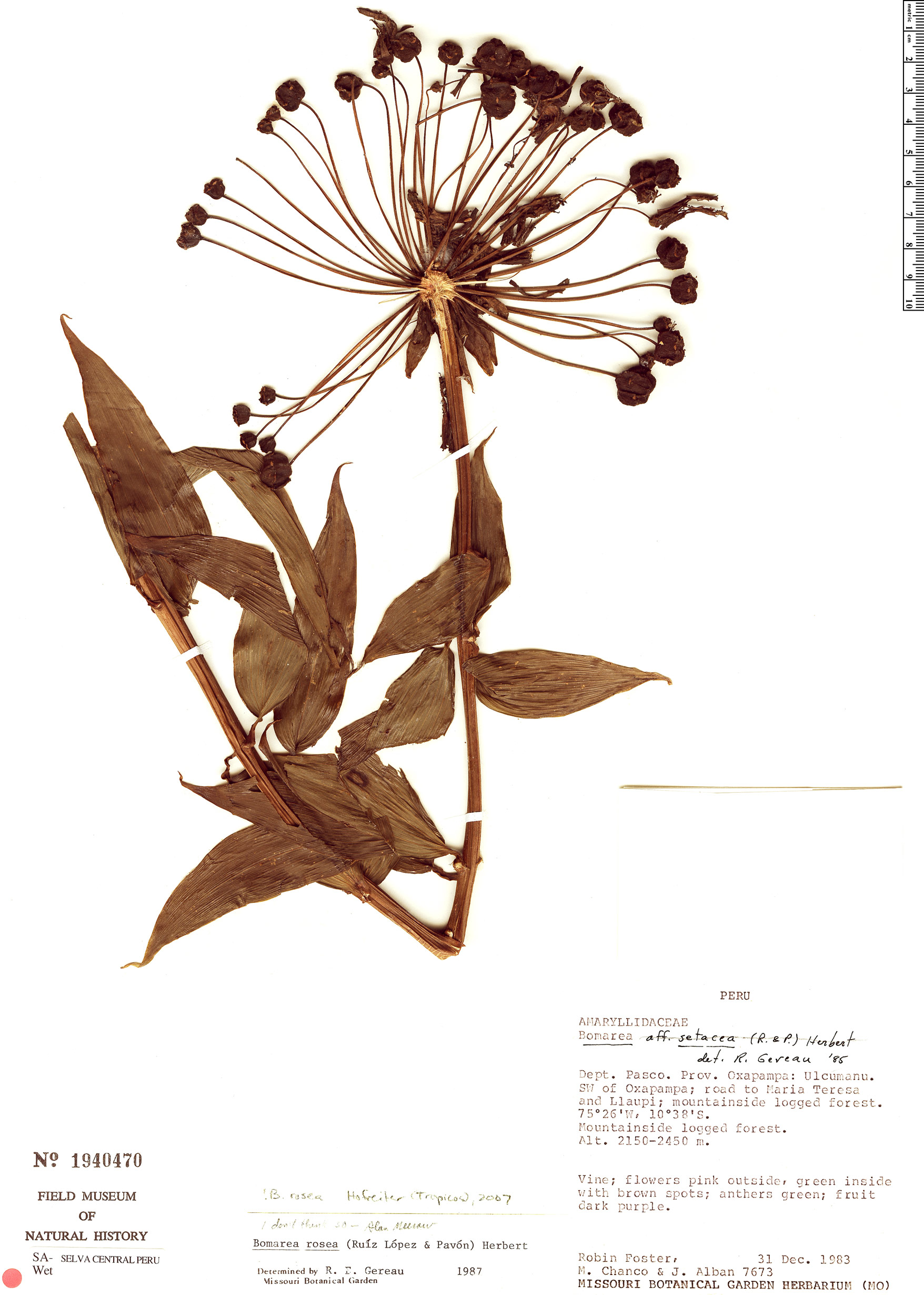 Specimen: Bomarea rosea