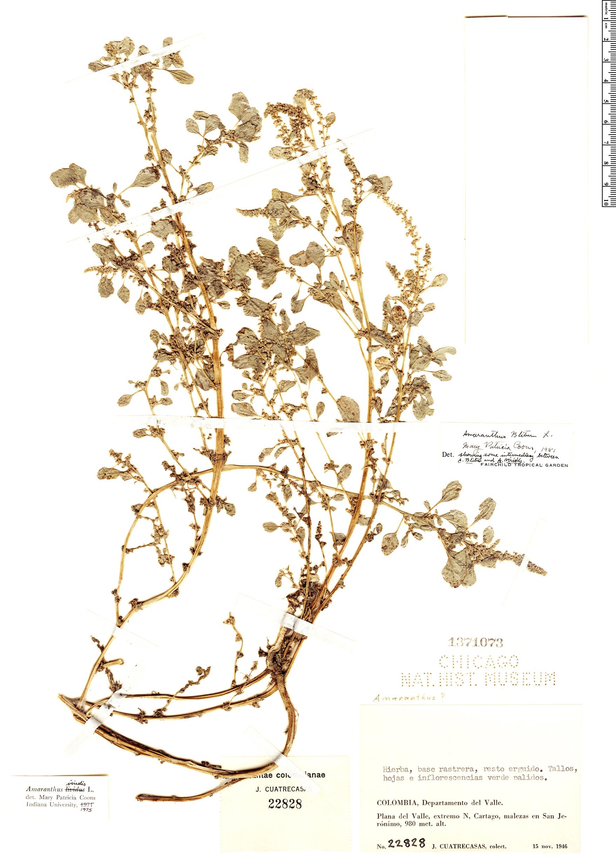 Specimen: Amaranthus blitum