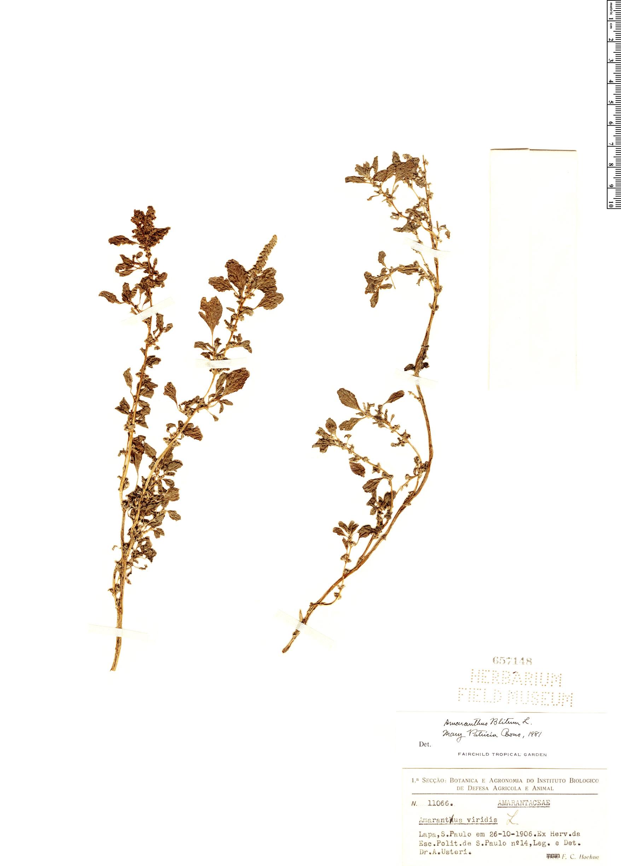 Espécimen: Amaranthus blitum