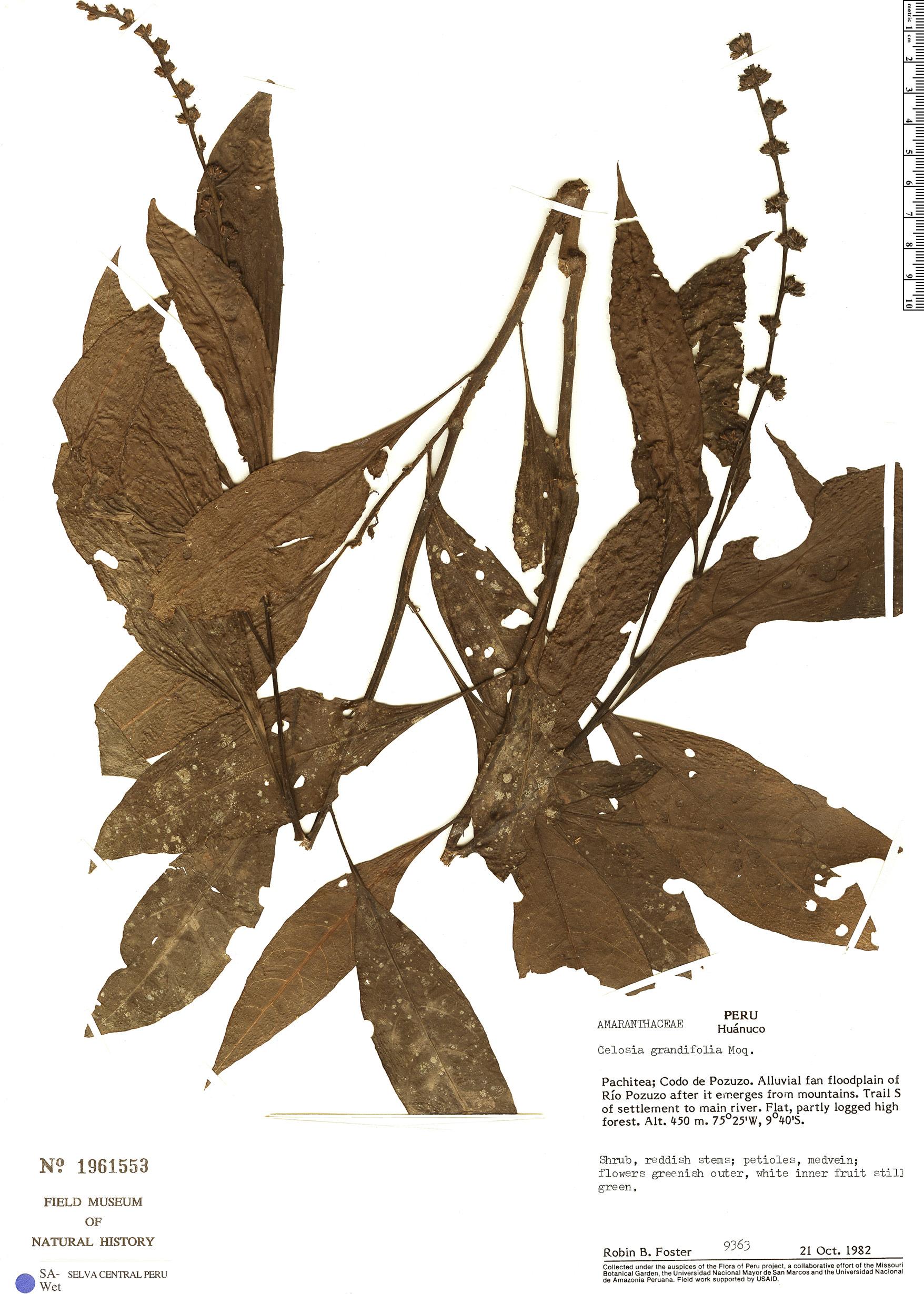 Specimen: Celosia grandifolia
