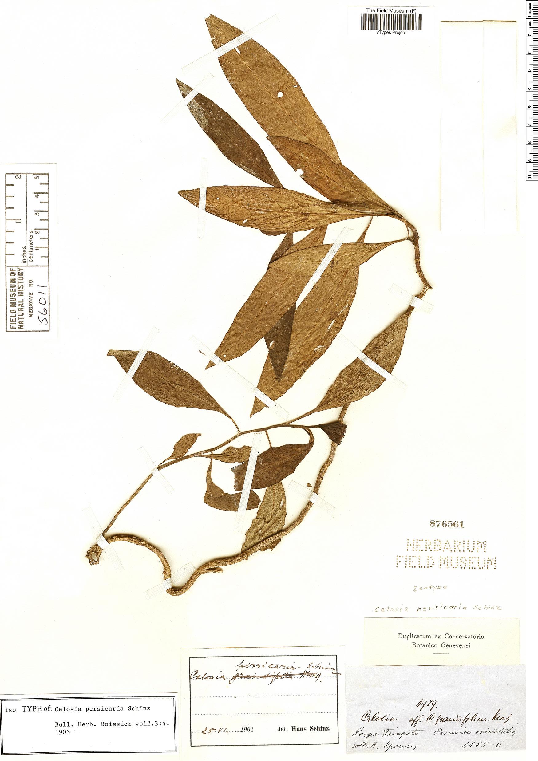 Specimen: Celosia persicaria