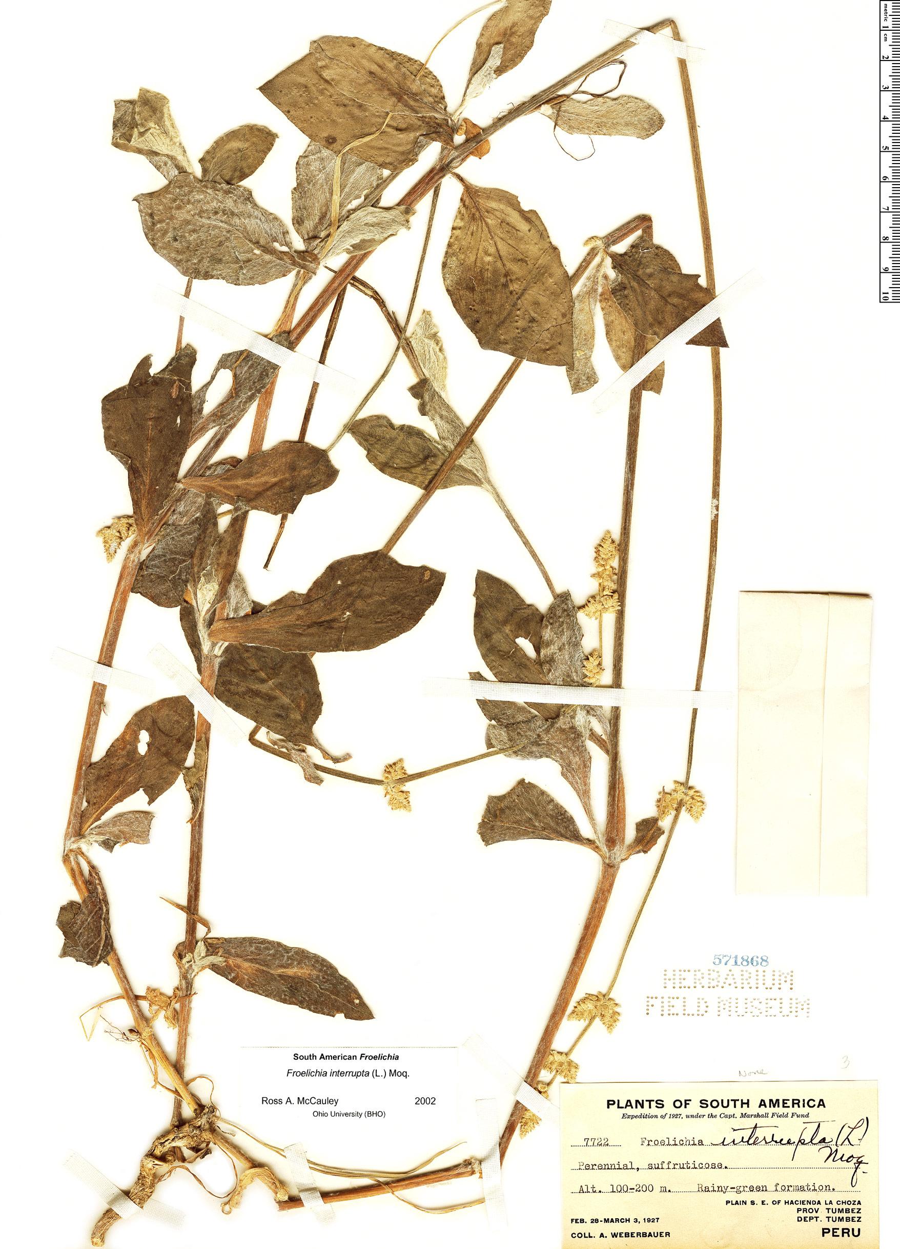 Espécimen: Froelichia interrupta
