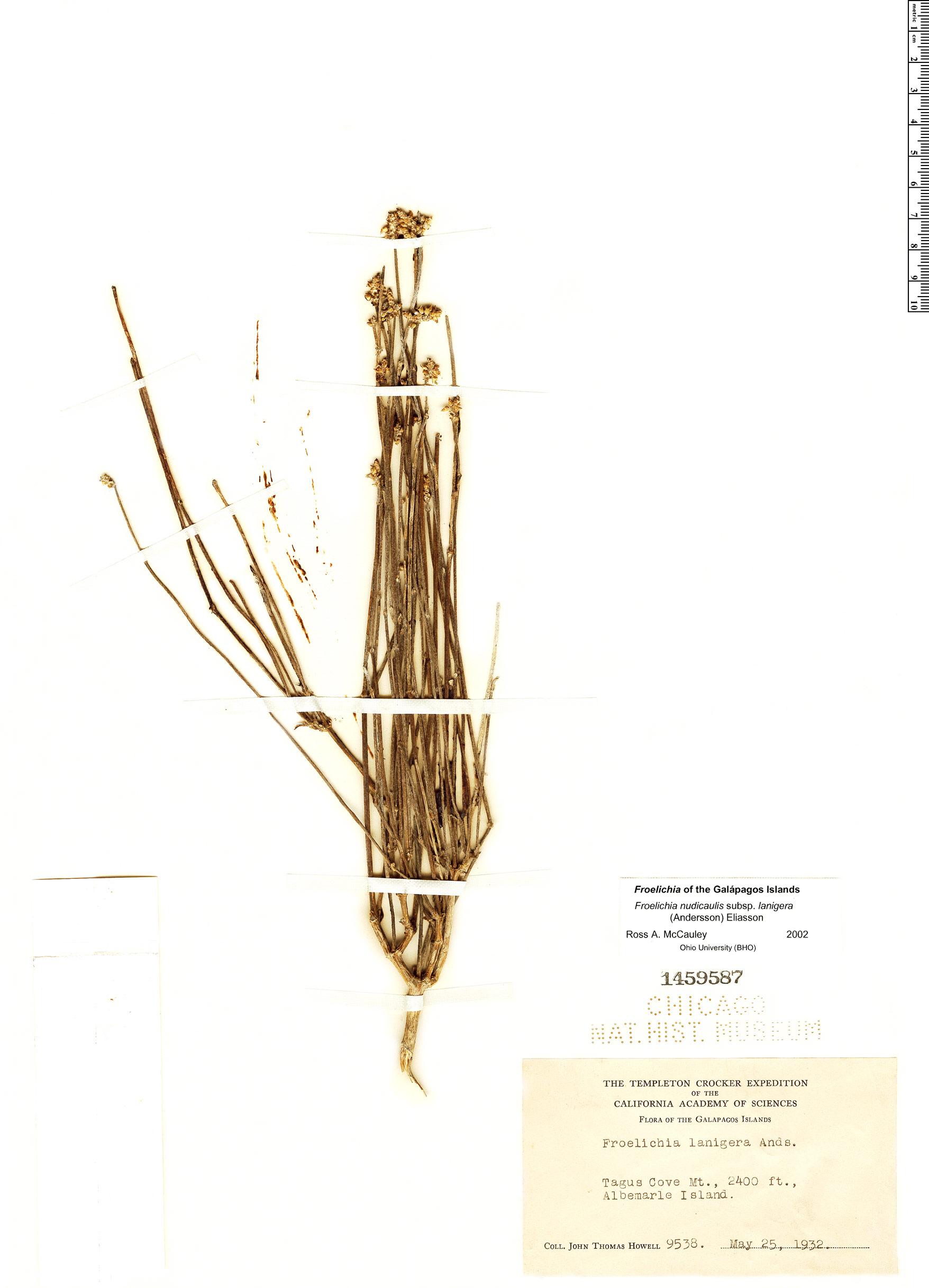 Froelichia nudicaulis image
