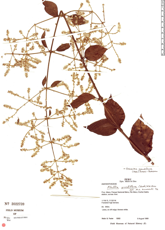 Specimen: Hebanthe grandiflora
