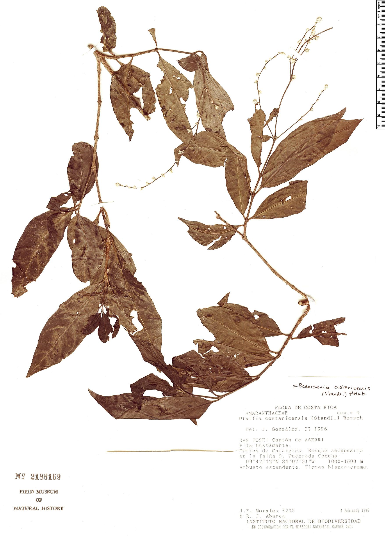 Specimen: Pedersenia costaricensis