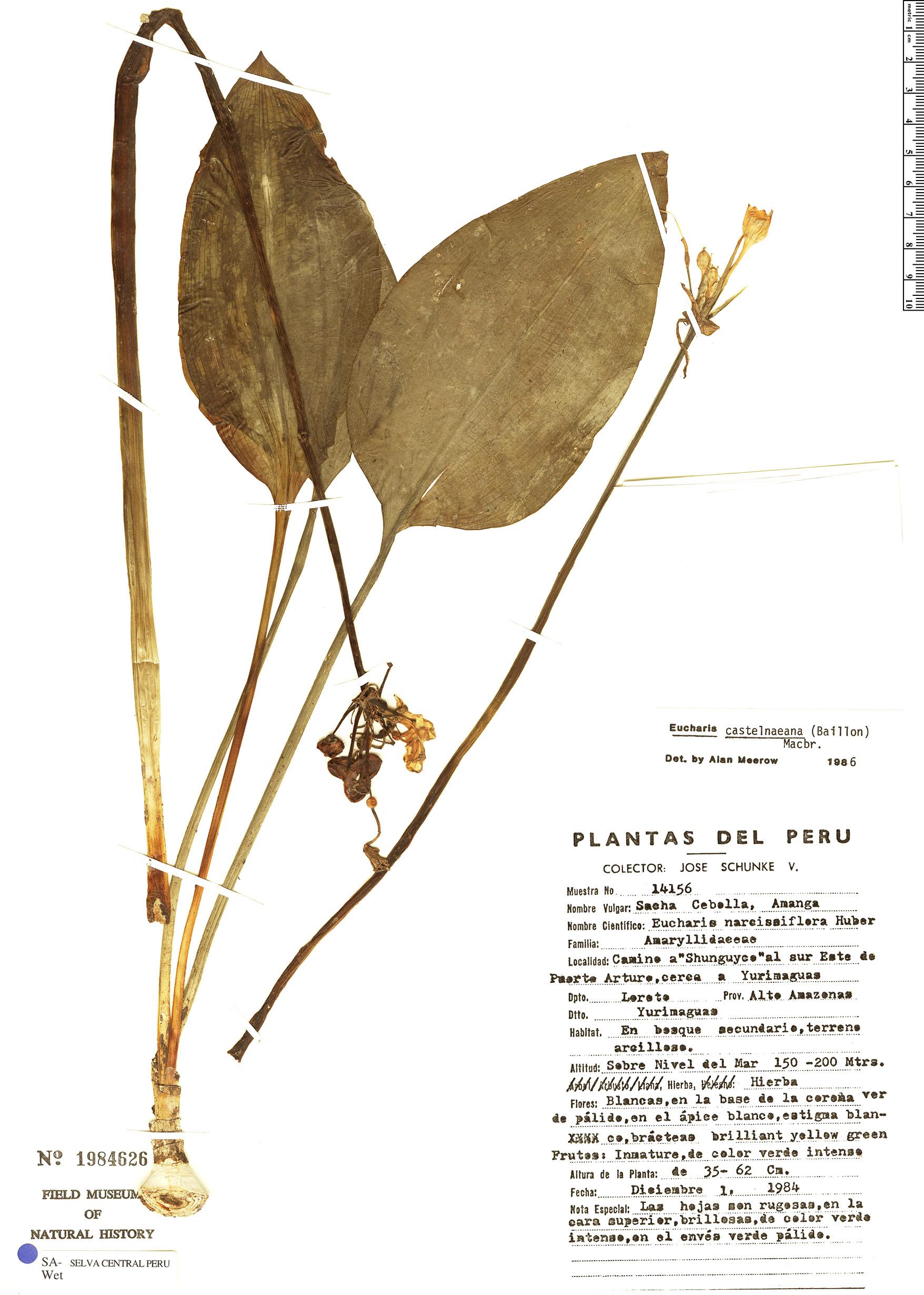 Specimen: Eucharis castelnaeana