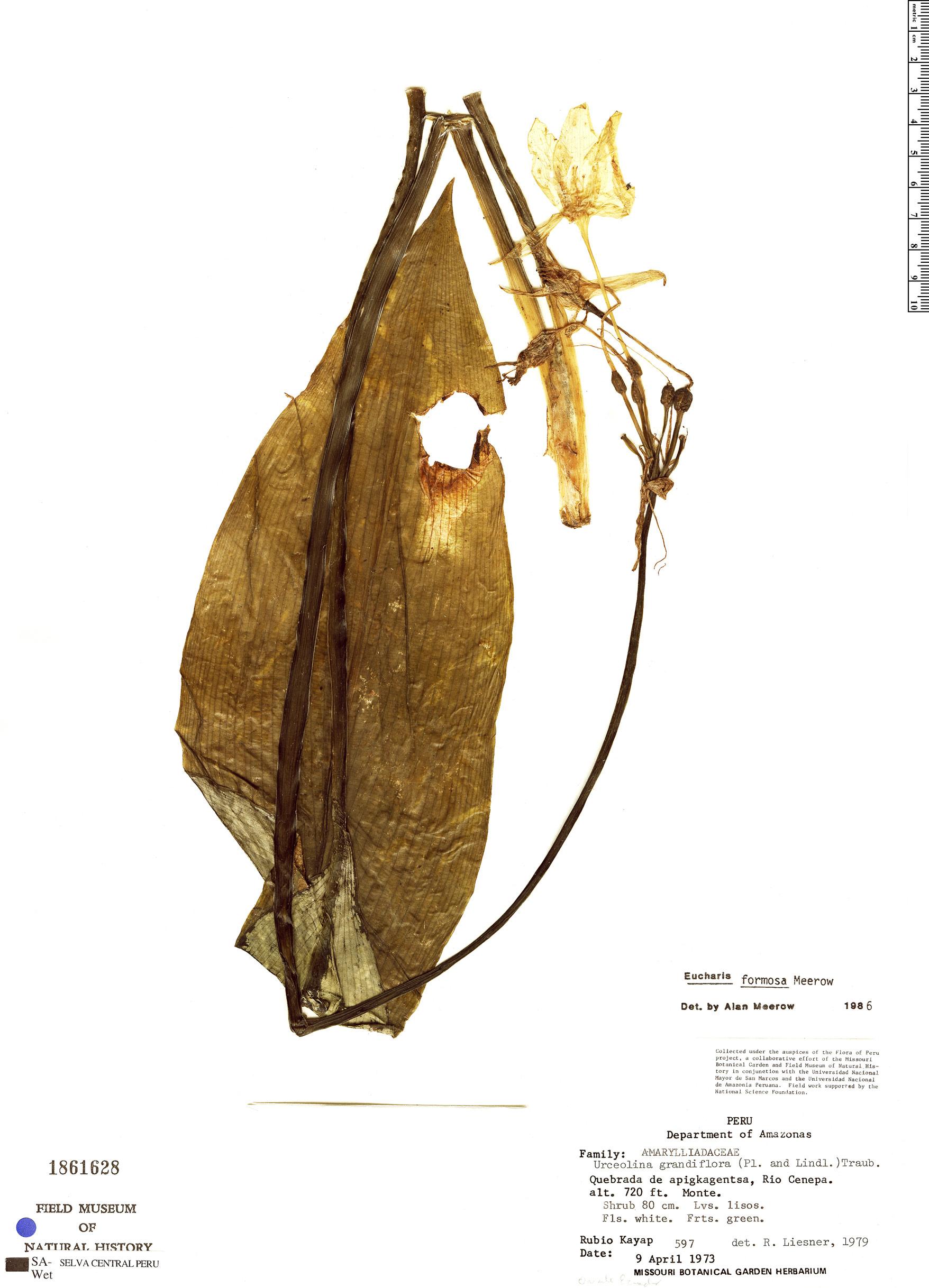 Specimen: Eucharis formosa