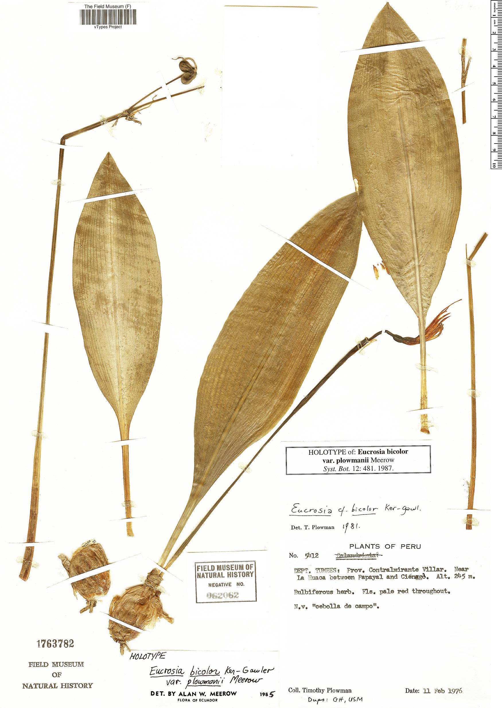 Specimen: Eucrosia bicolor