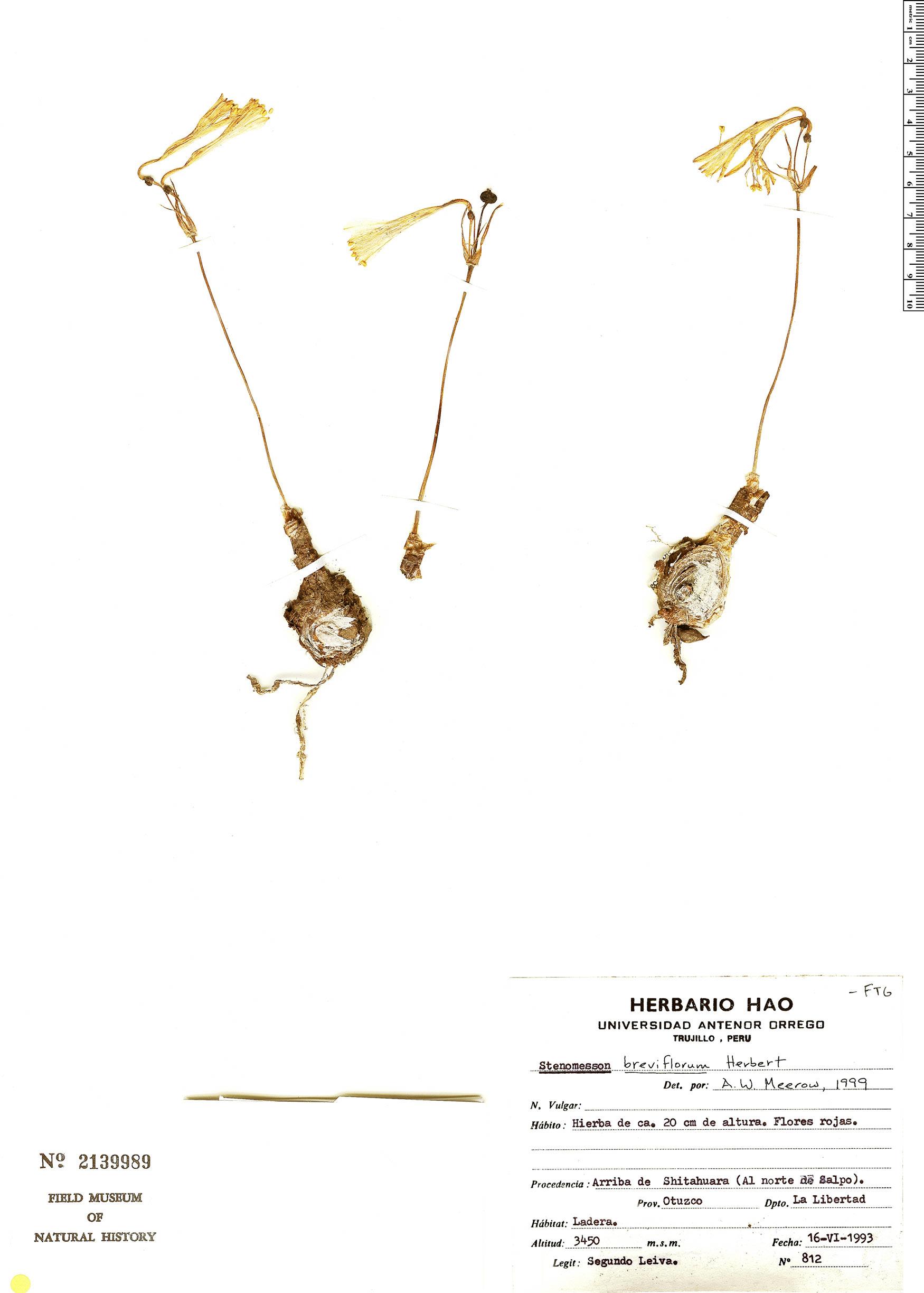 Specimen: Stenomesson breviflorum