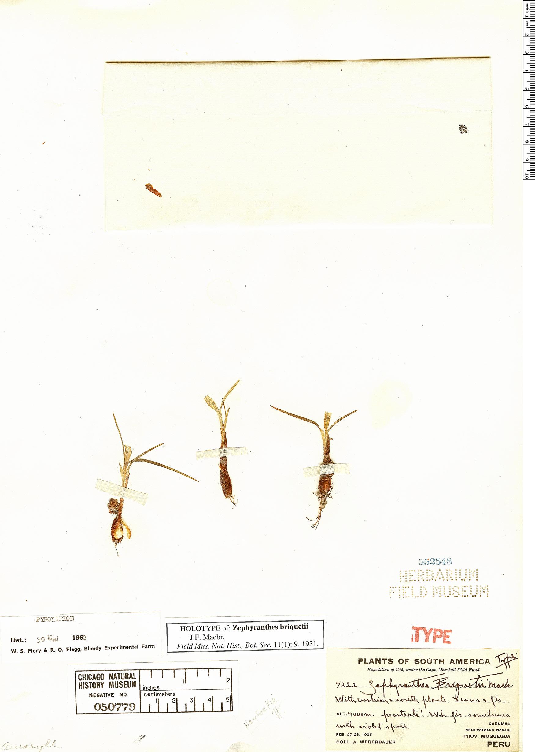 Specimen: Zephyranthes briquetii