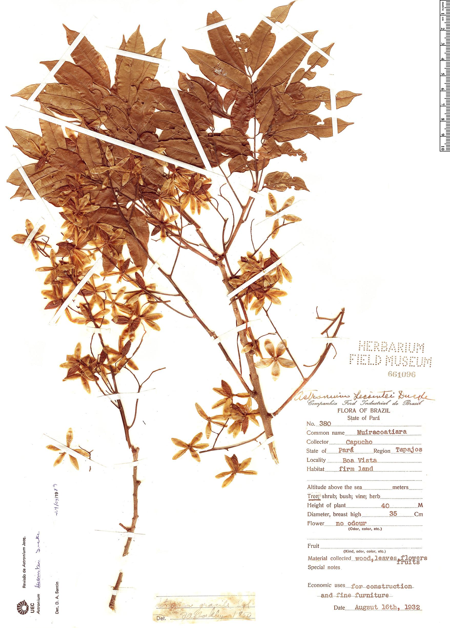 Specimen: Astronium lecointei