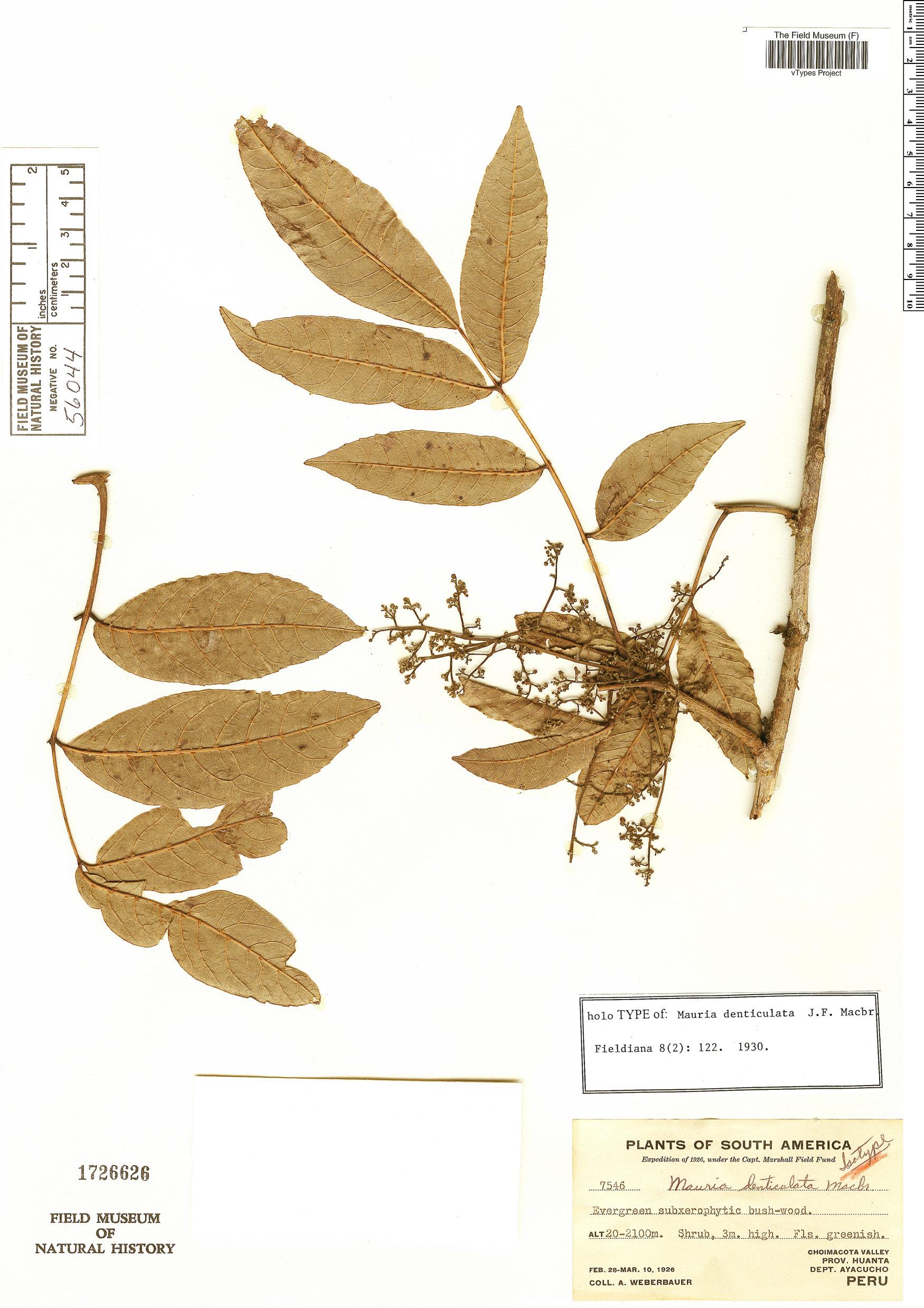 Espécimen: Mauria denticulata