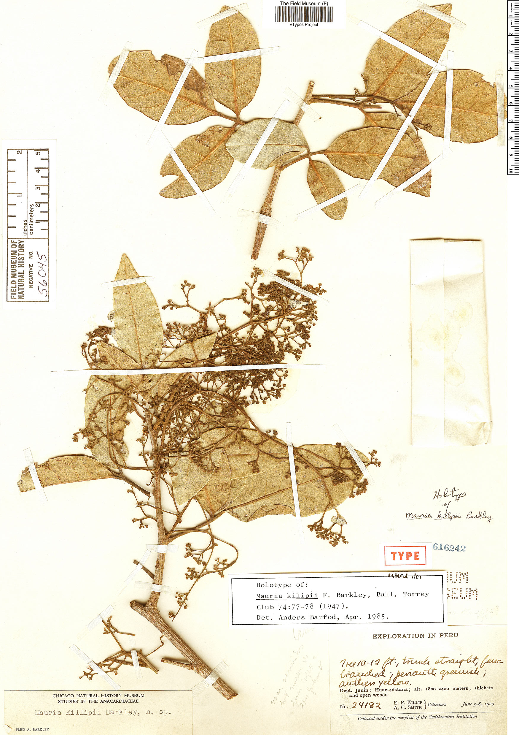 Specimen: Mauria killipii